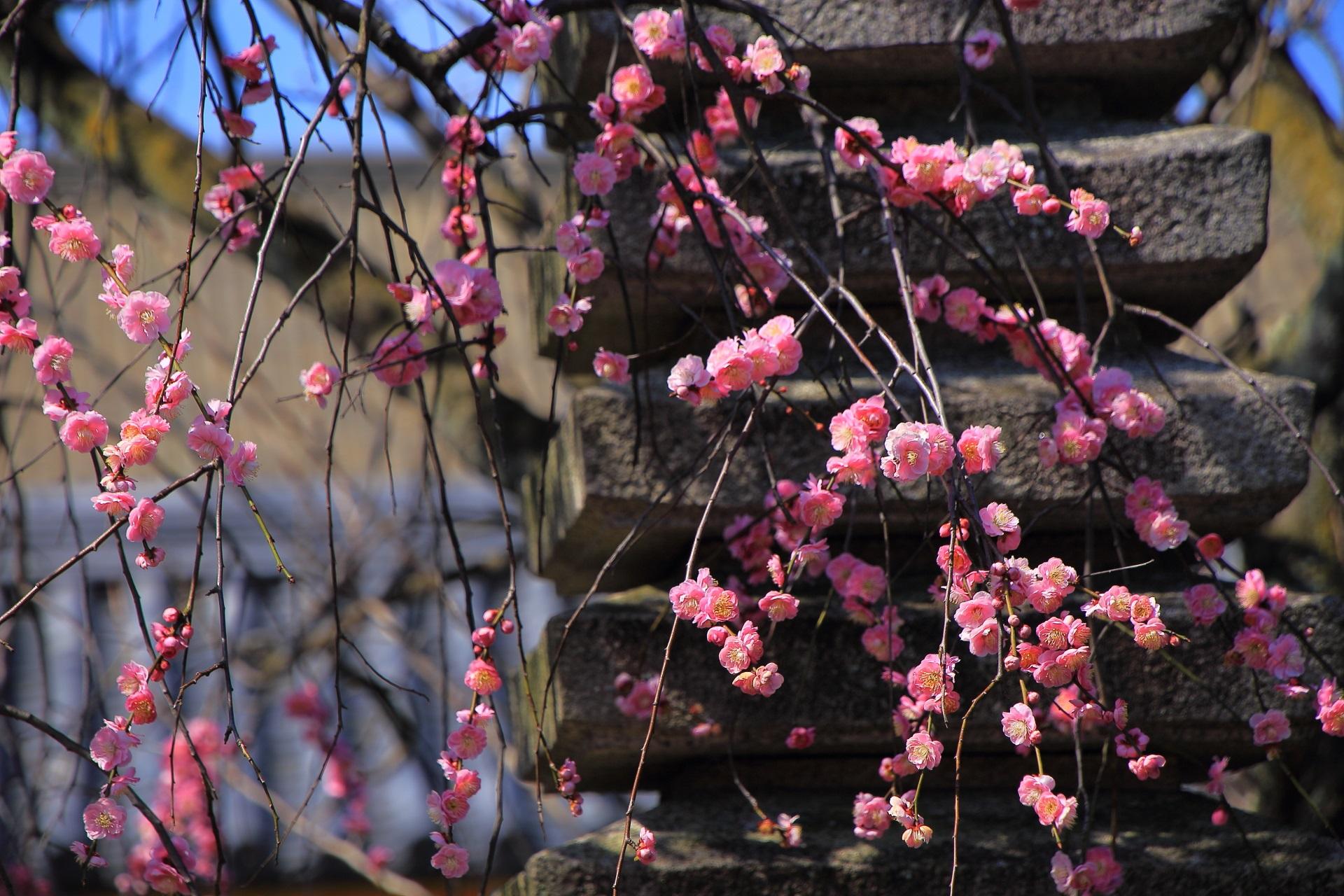 見ごろをむかえた法住寺の梅の花