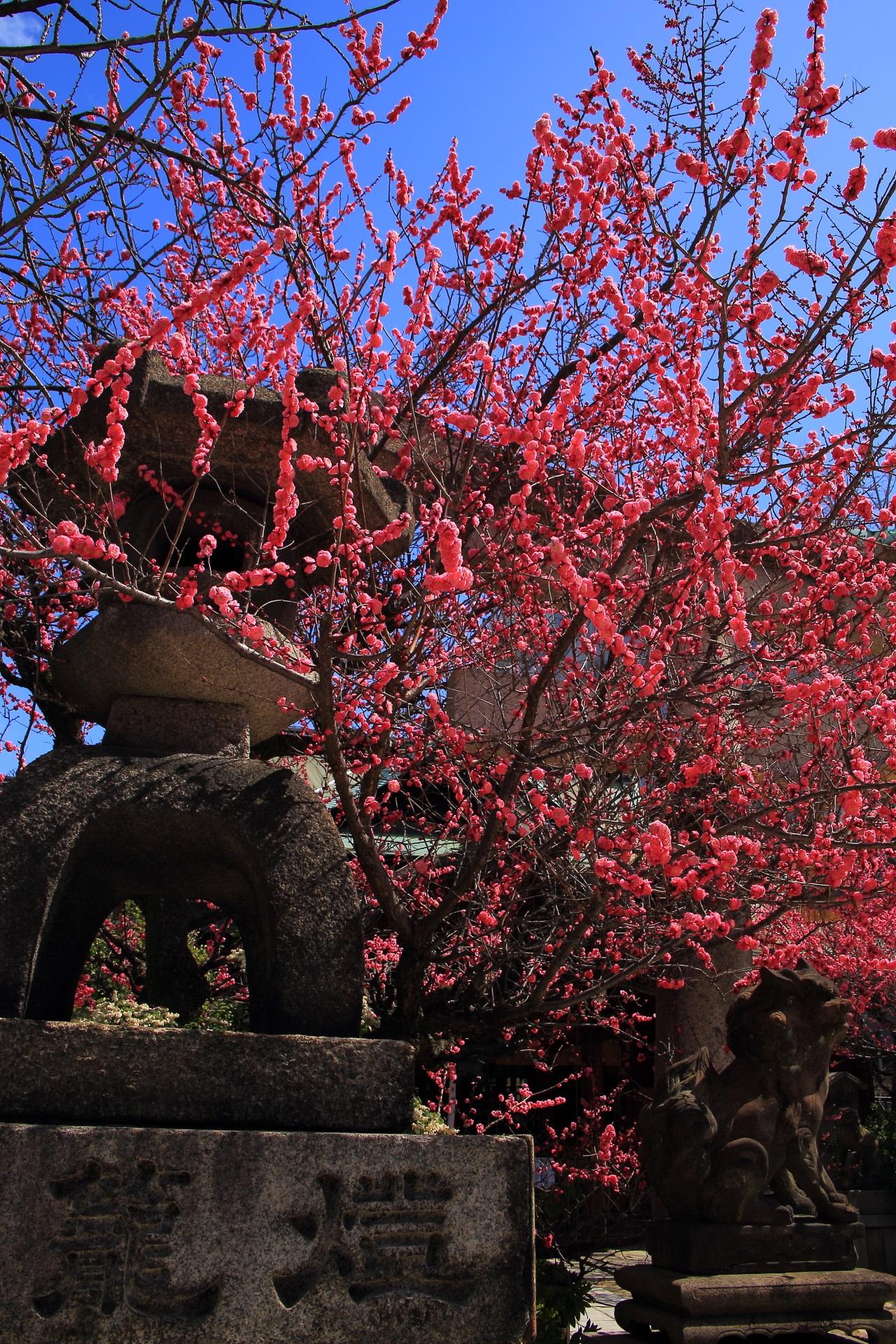 plumblossom Kandaijin-jinja shrine in Kyoto,Japan