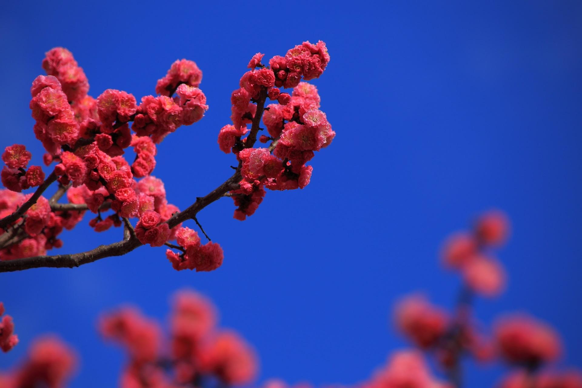 青空に映える鮮やかなピンクの梅の花