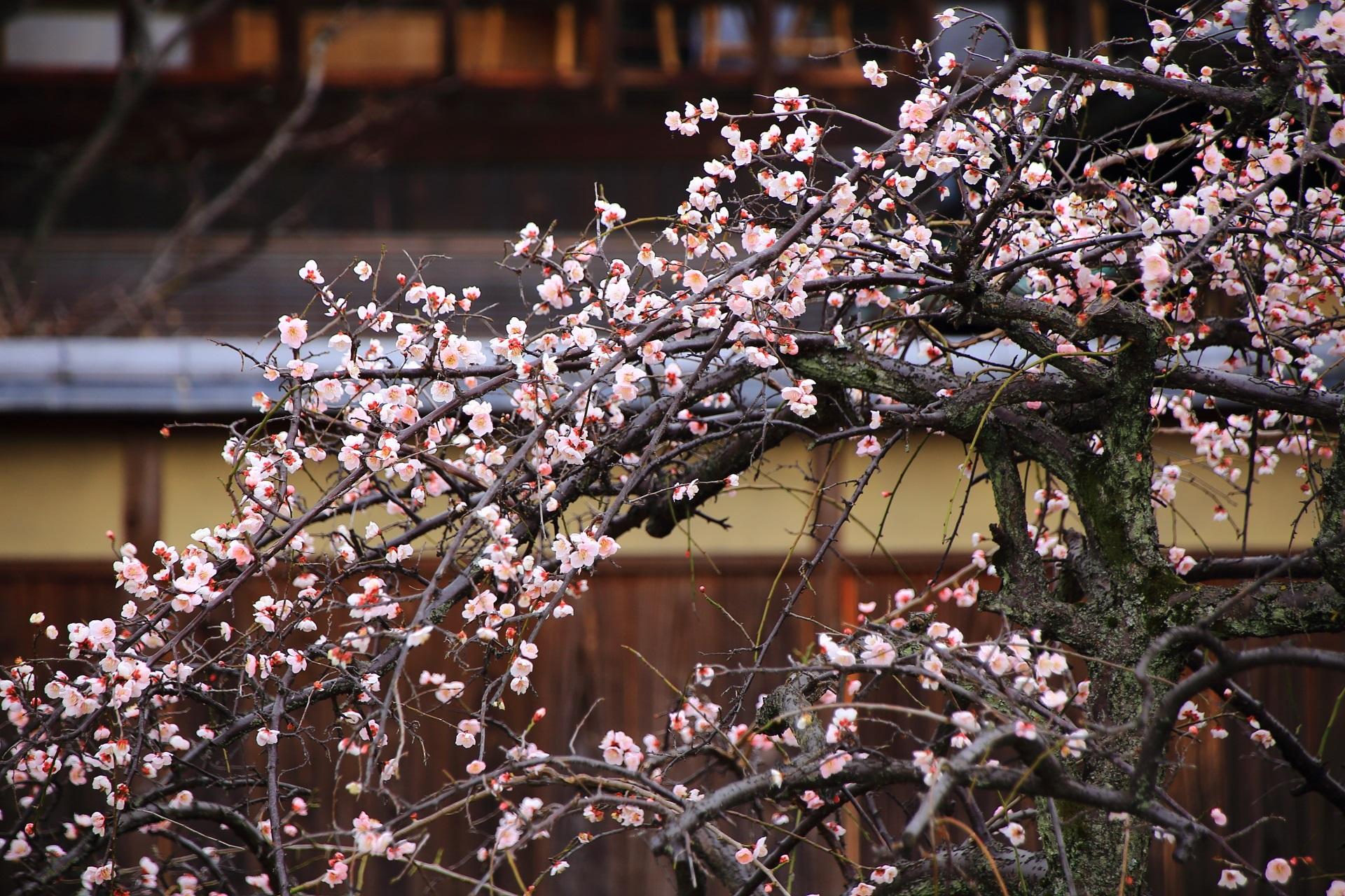 可愛い花を咲かせるしだれ梅