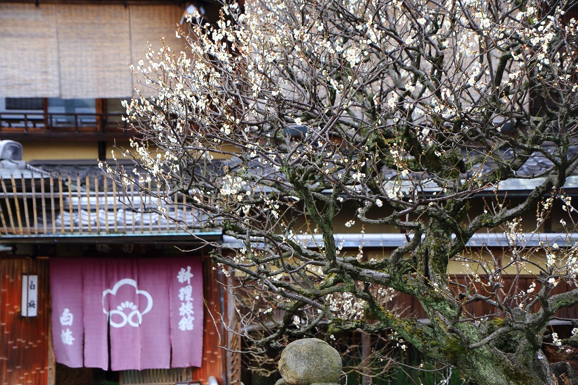 祇園白川の絵になる梅の情景