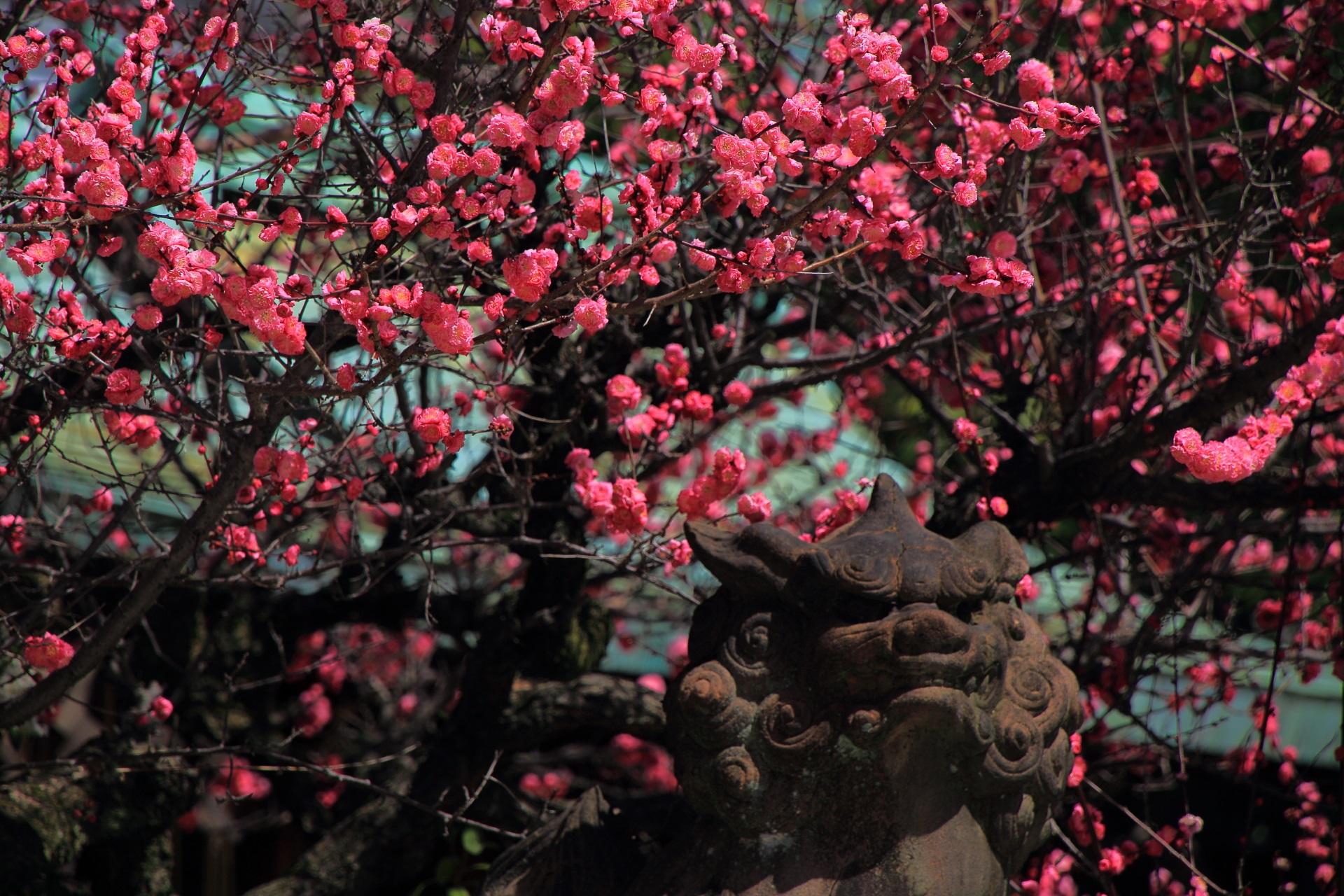 鮮やかな梅につつまれた狛犬