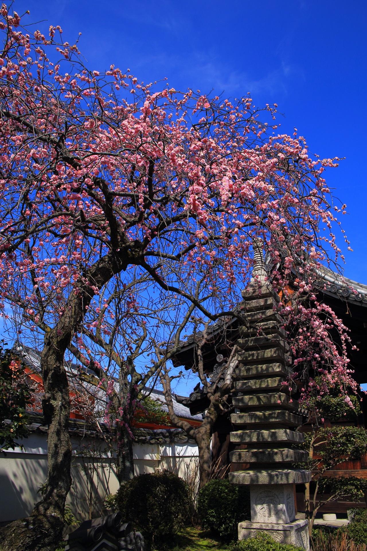 法住寺の素晴らしい梅の花と春の情景