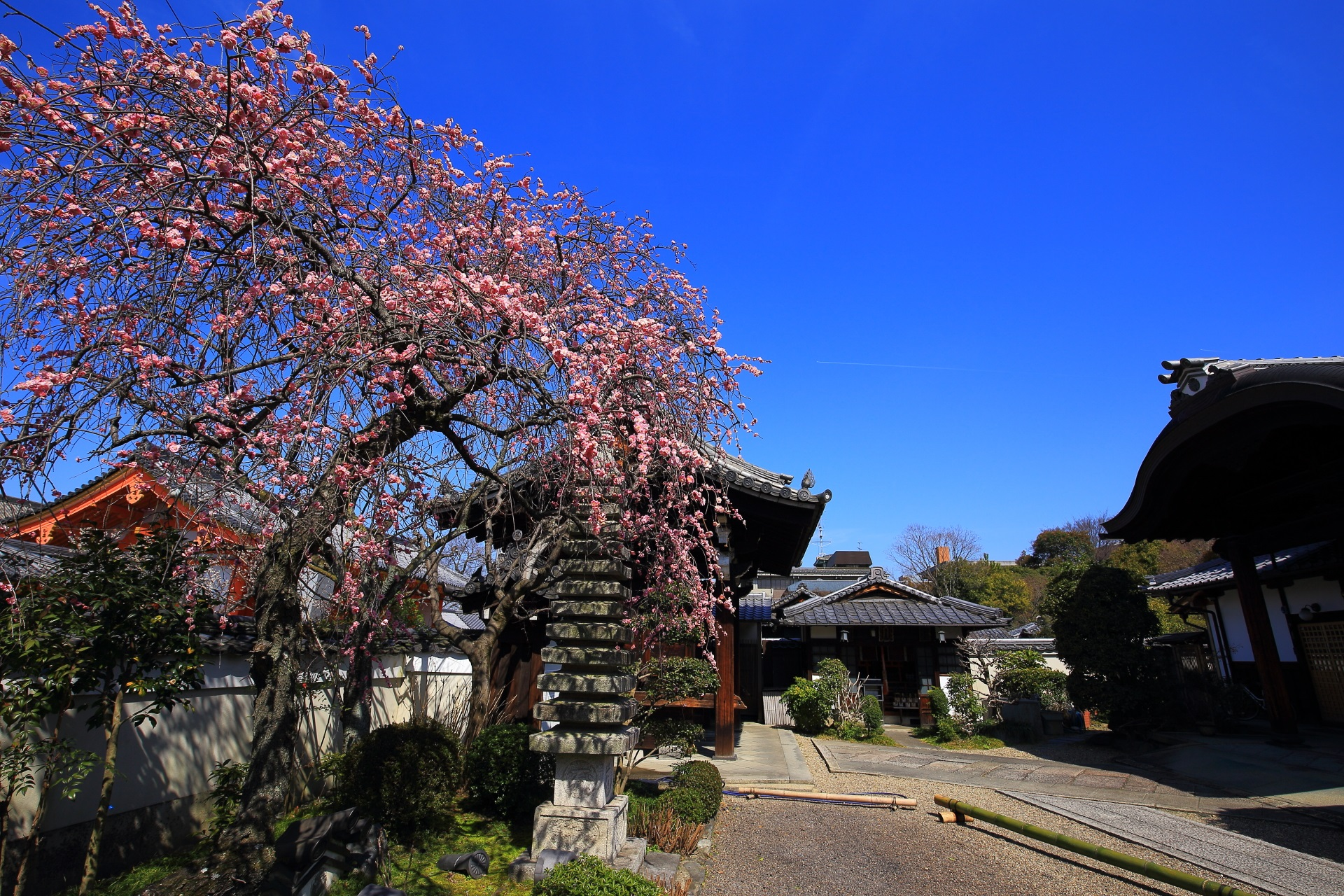 雲一つない青空を背景にした法住寺のピンクのしだれ梅