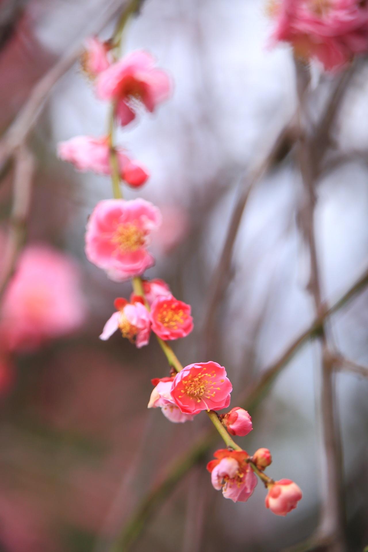 これから開きつつある花や蕾