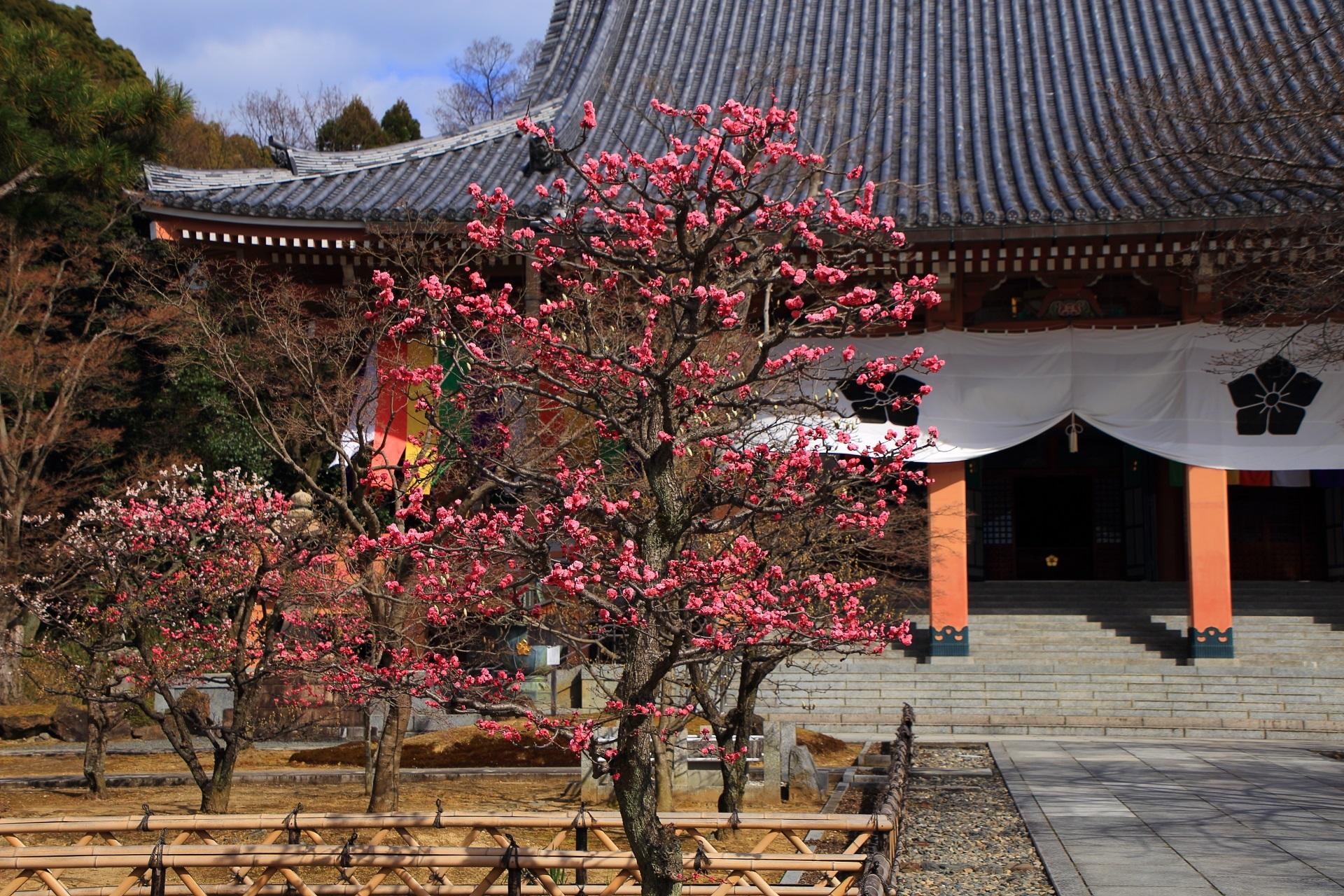 高画質 智積院 梅の花 写真