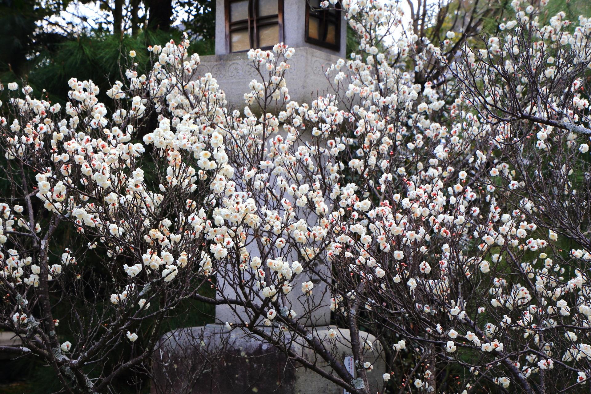 嵯峨釈迦堂の阿弥陀堂前の超満開の八重の白梅
