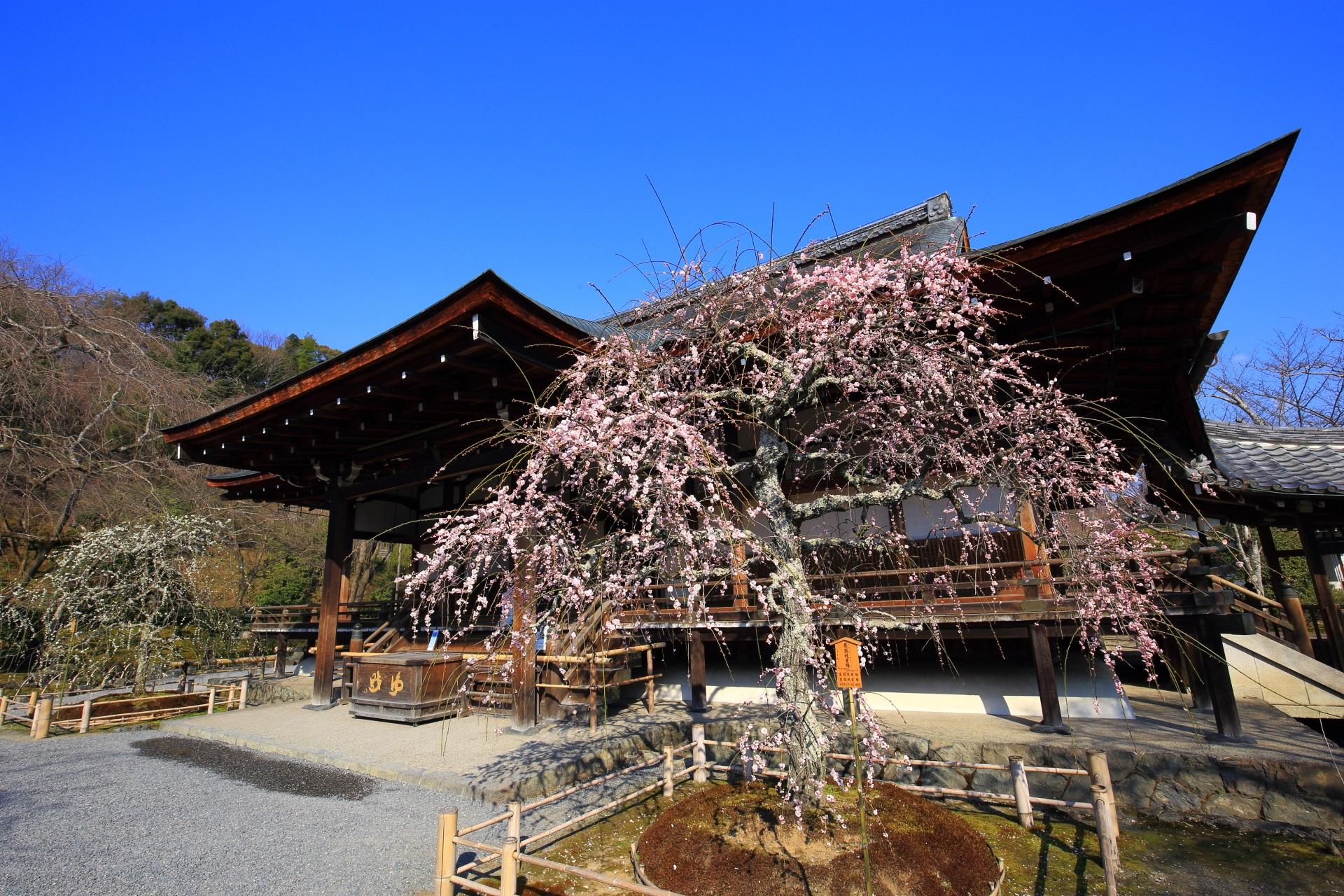 天龍寺の素晴らしい梅と春先の情景