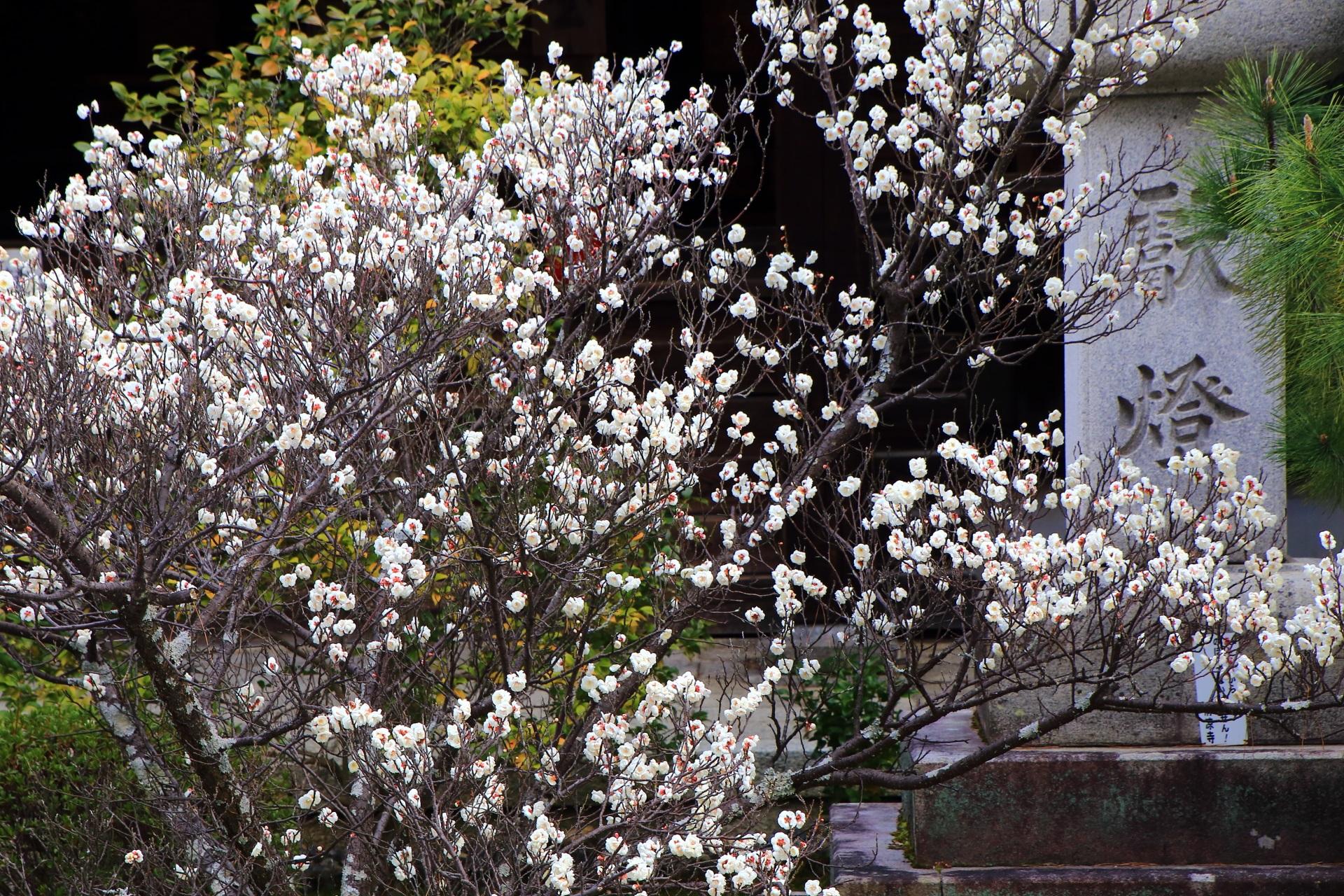 雪が積もるように咲く嵯峨釈迦堂の白梅