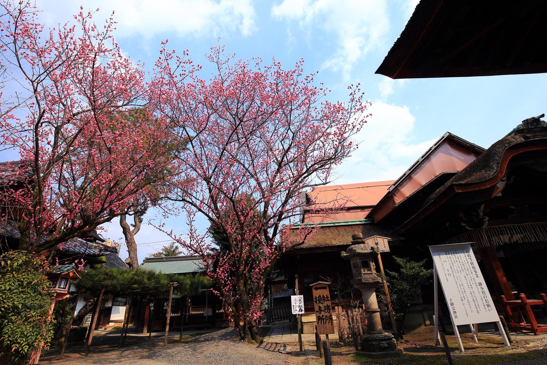 本殿横の二本の大きな梅の木