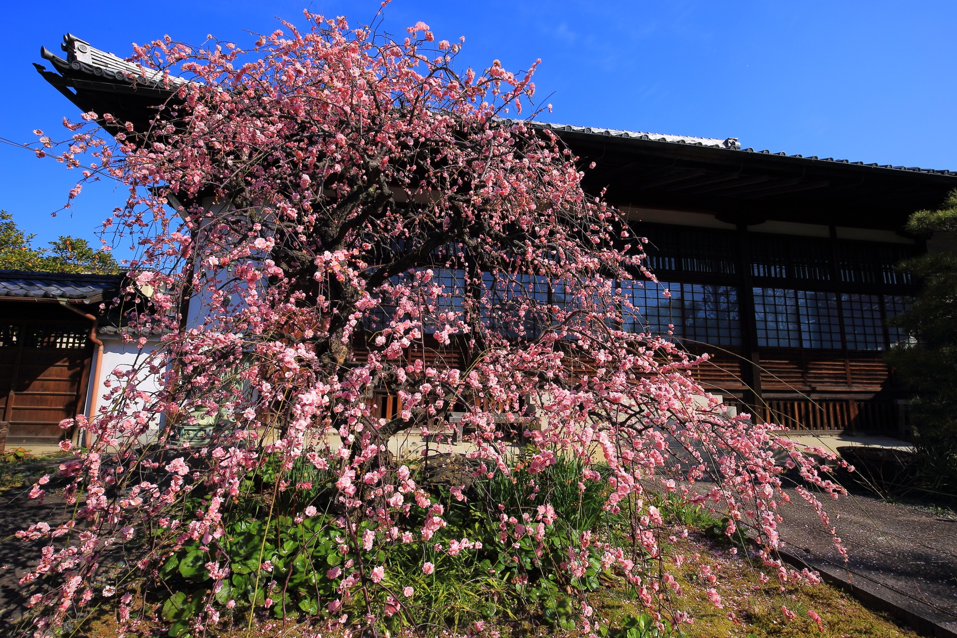 背景の本堂が非常に絵になる極上の梅