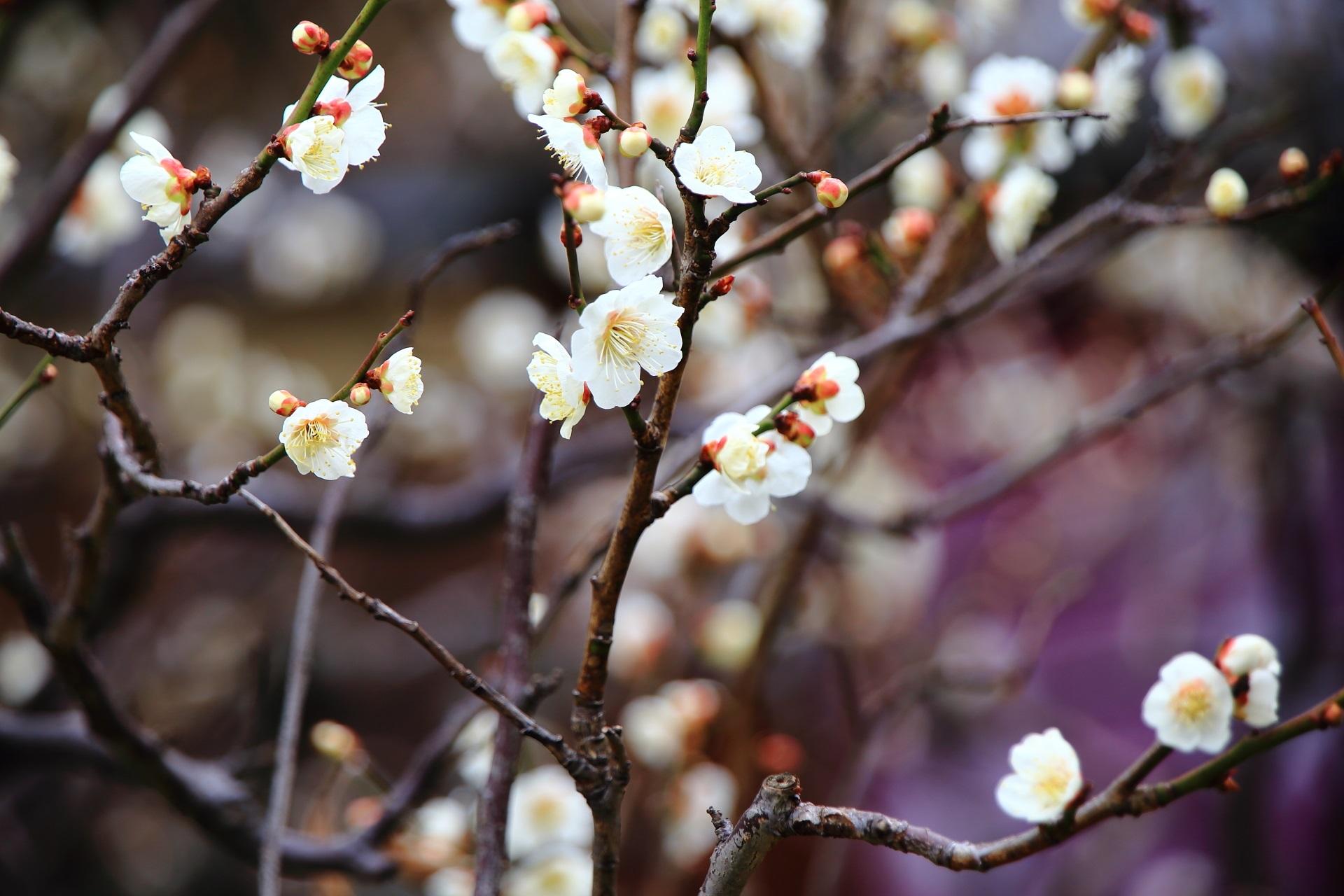 華やかに咲きそう可愛い白梅