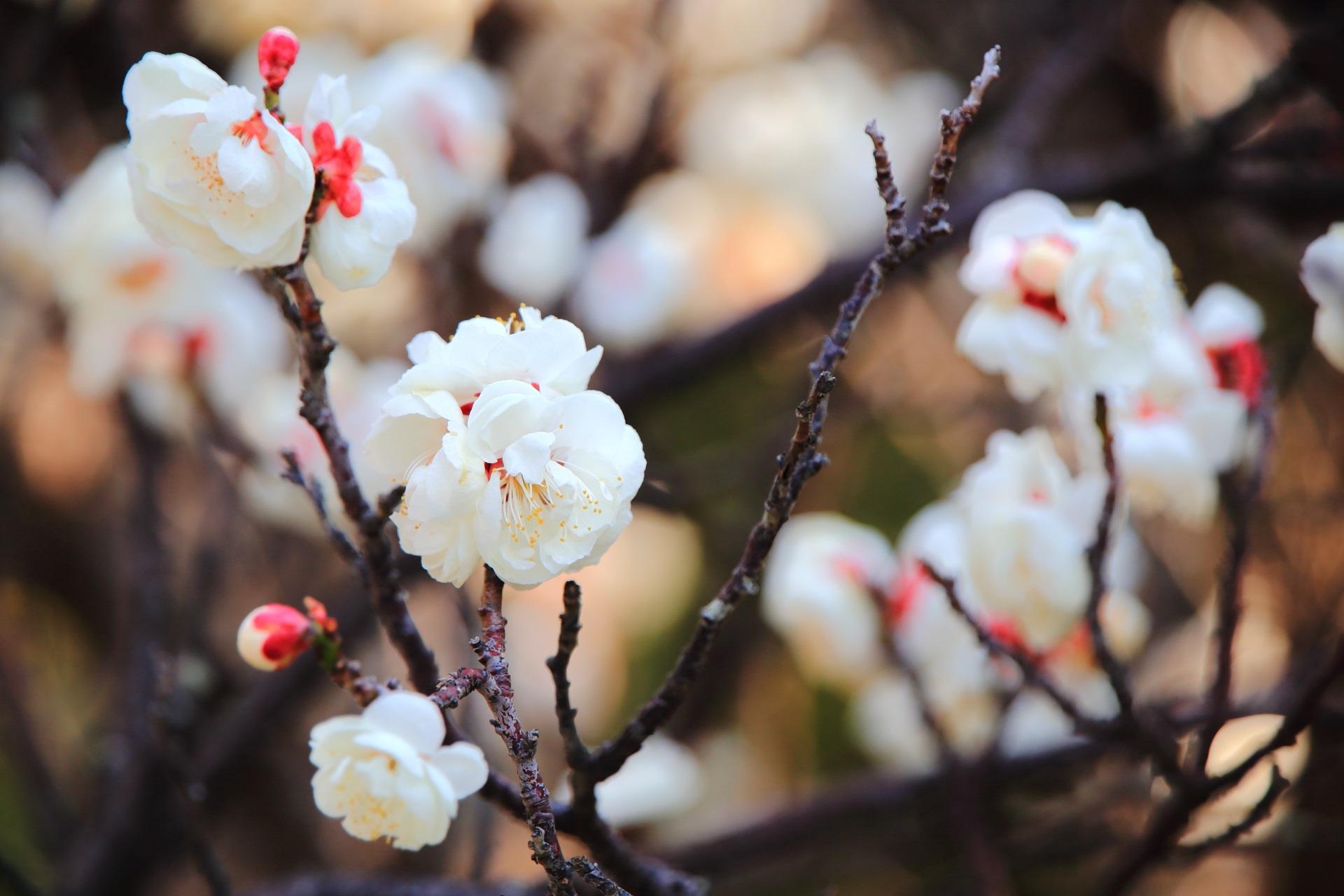 モコモコした花の白梅