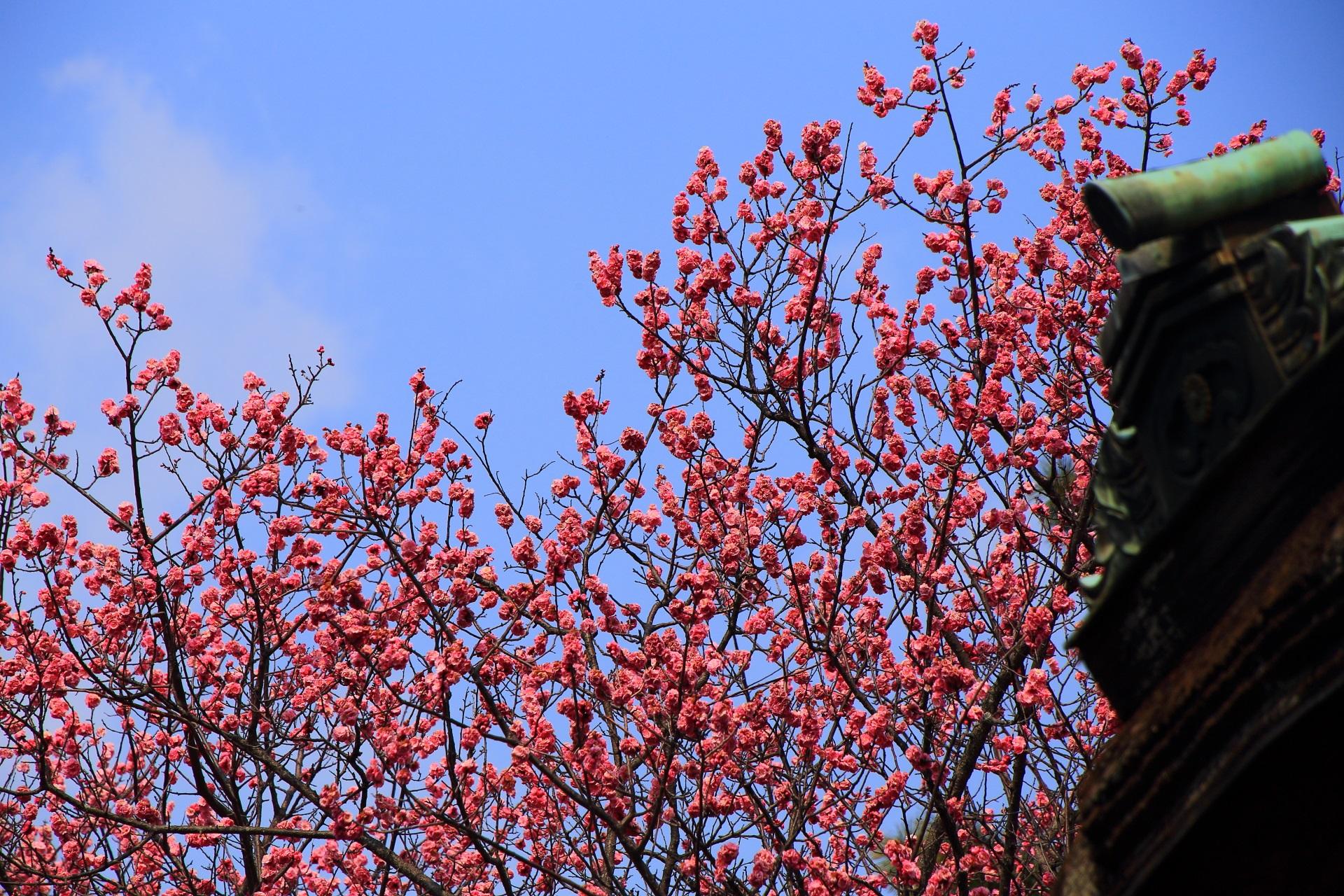青空に映えるピンクの梅の花