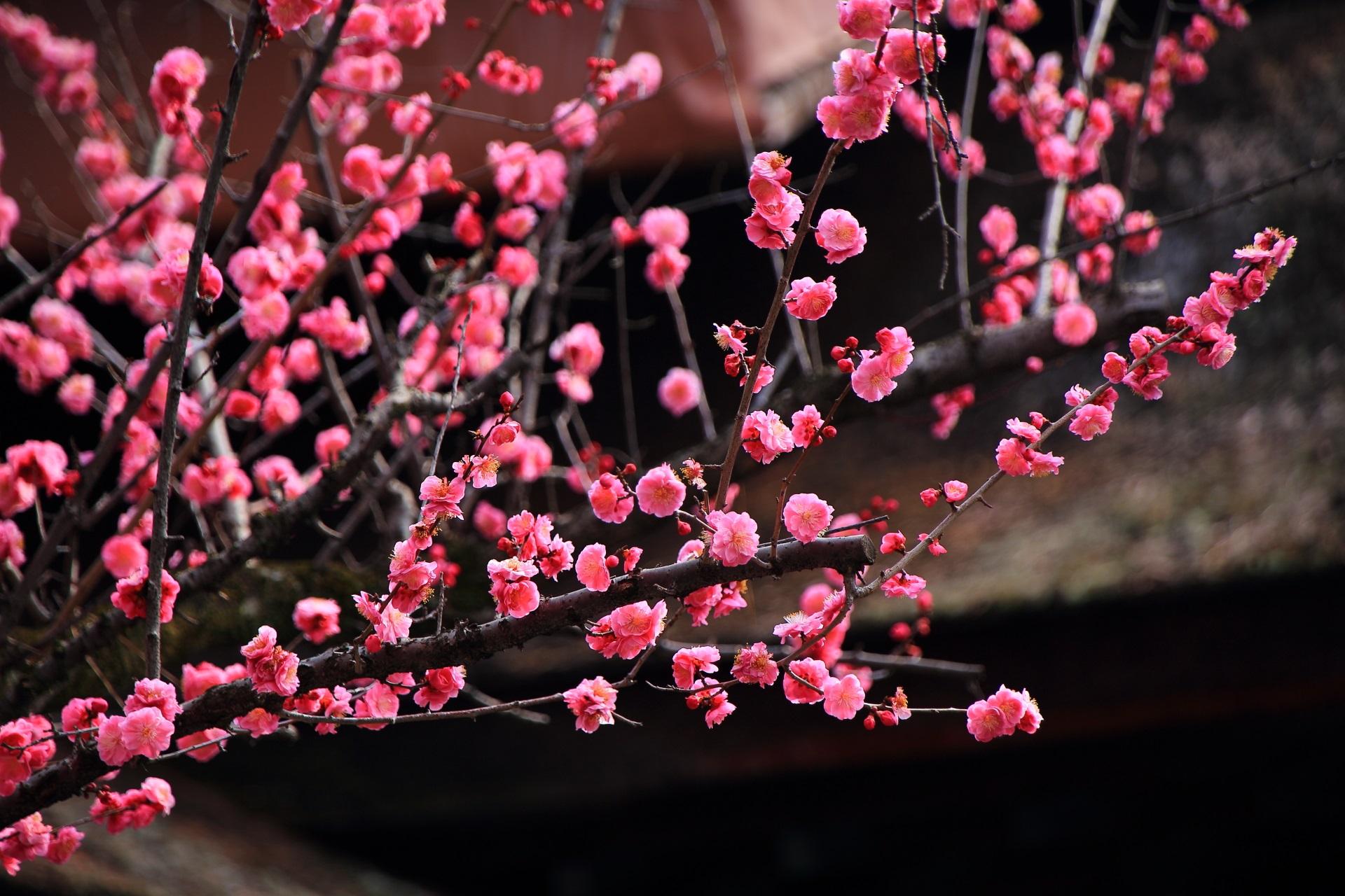 下御霊神社の満開の梅