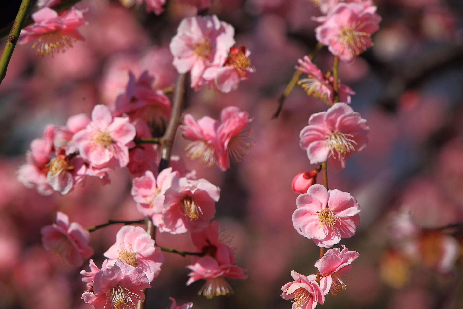 華やかで可愛いピンクの花
