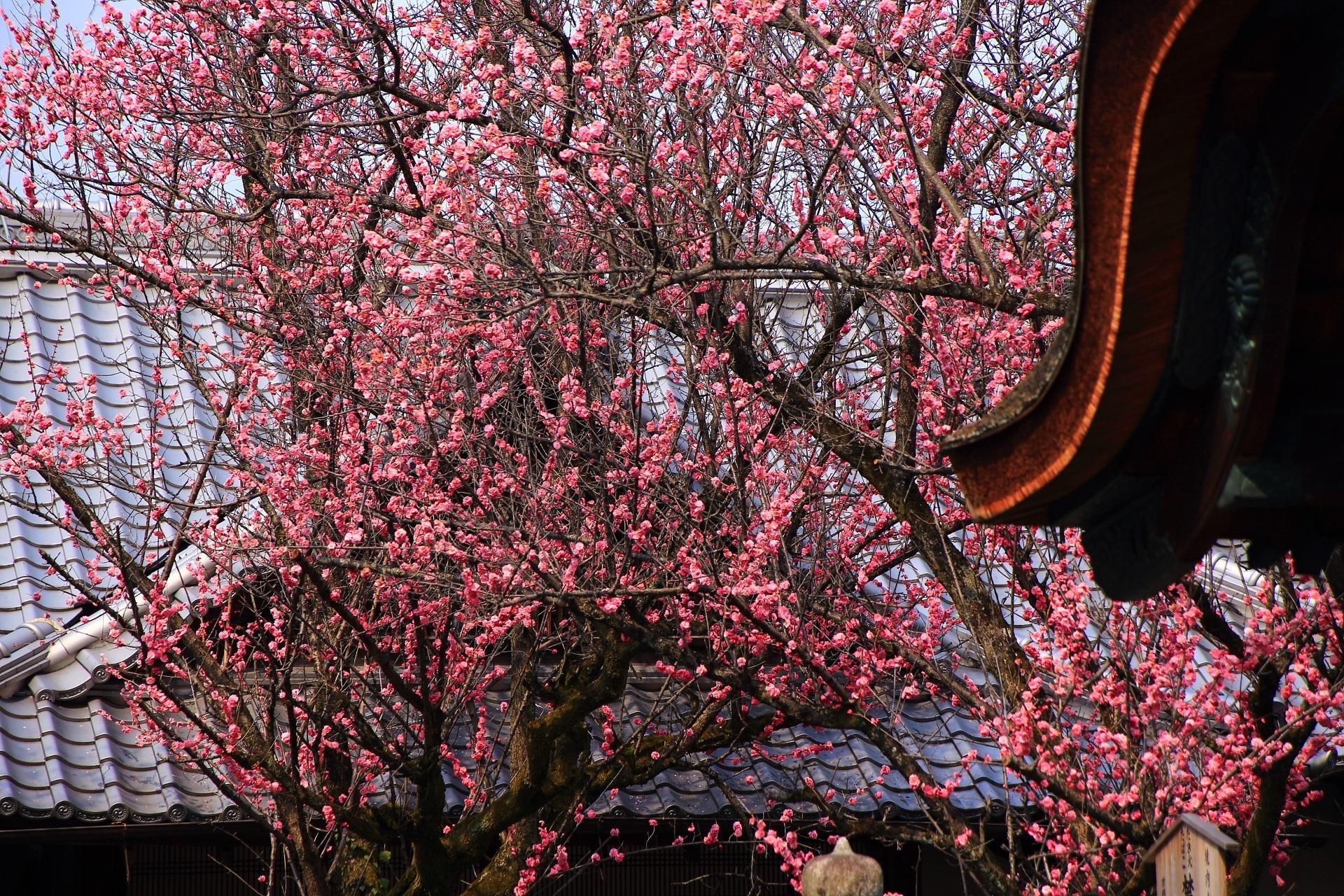 超満開の梅の花