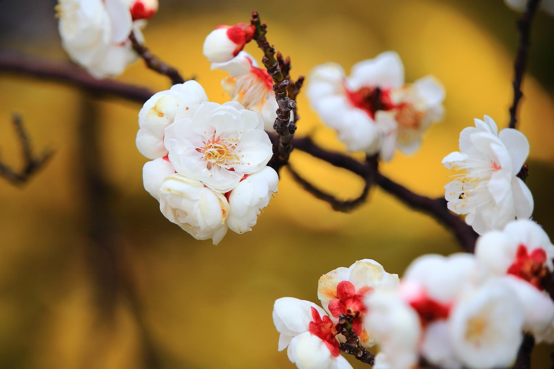 一輪一輪はとても繊細な造りの八重の白梅
