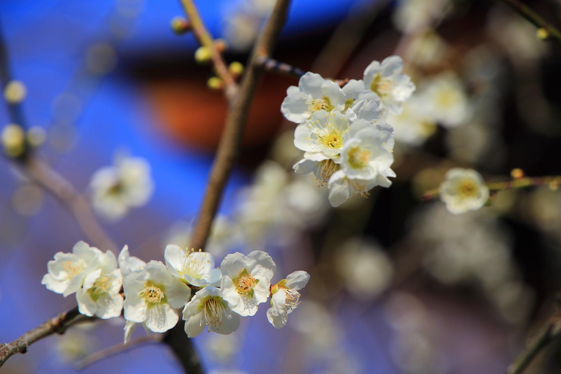 可憐な梅の花