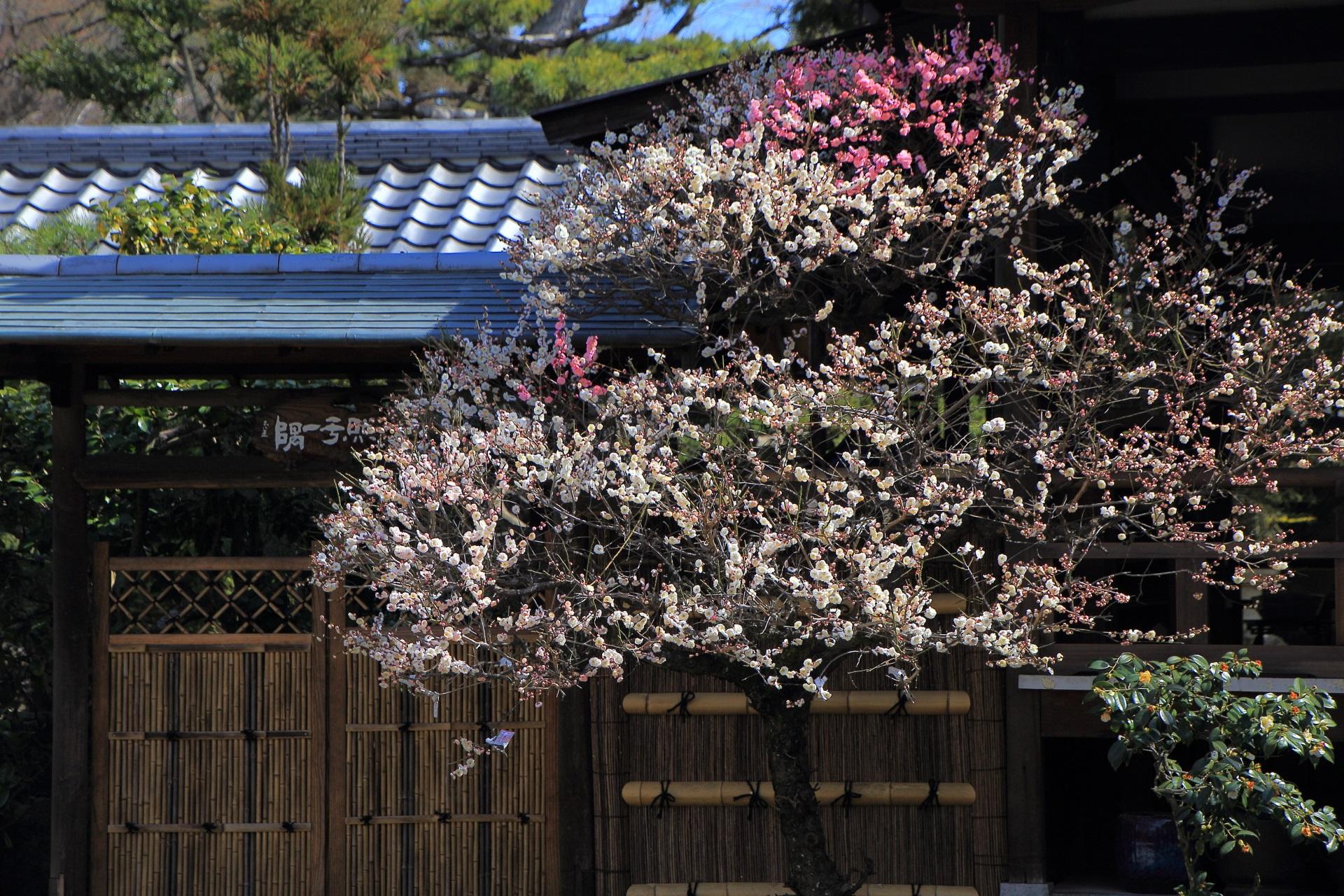 法住寺の紅白の咲き分けの梅
