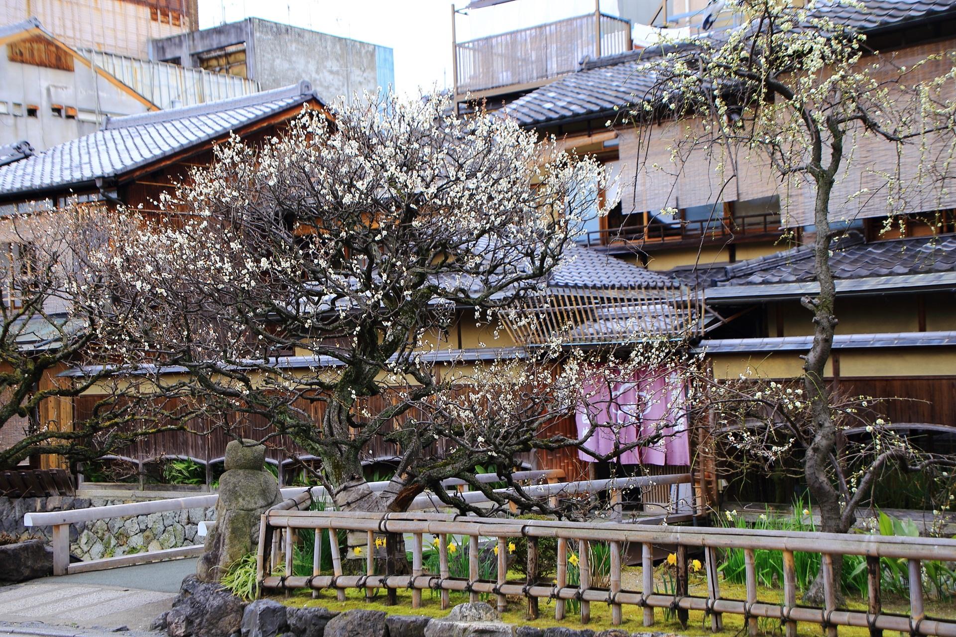 料理旅館 白梅(しらうめ)の前の梅の木