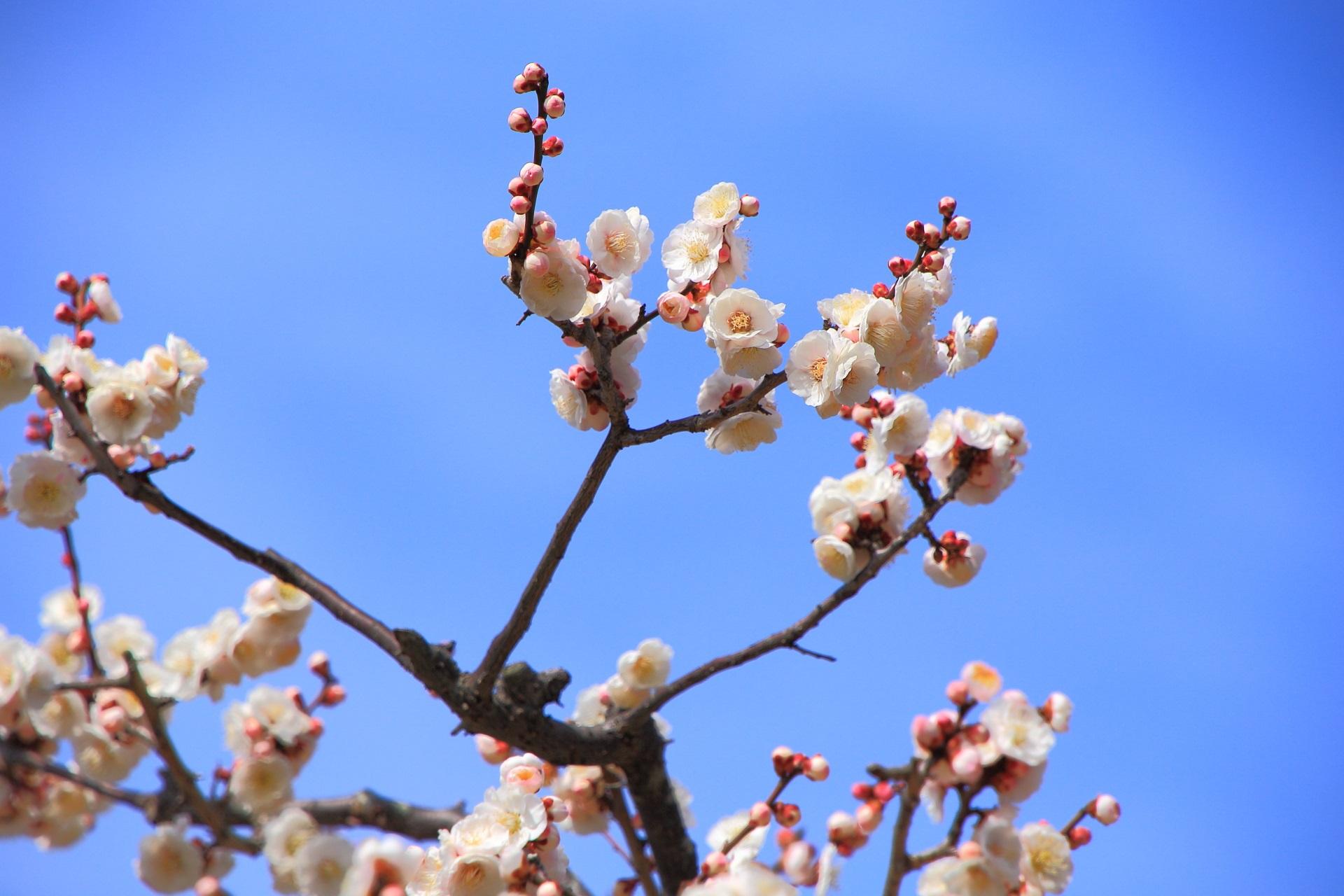 青空に映える華やかな梅の花