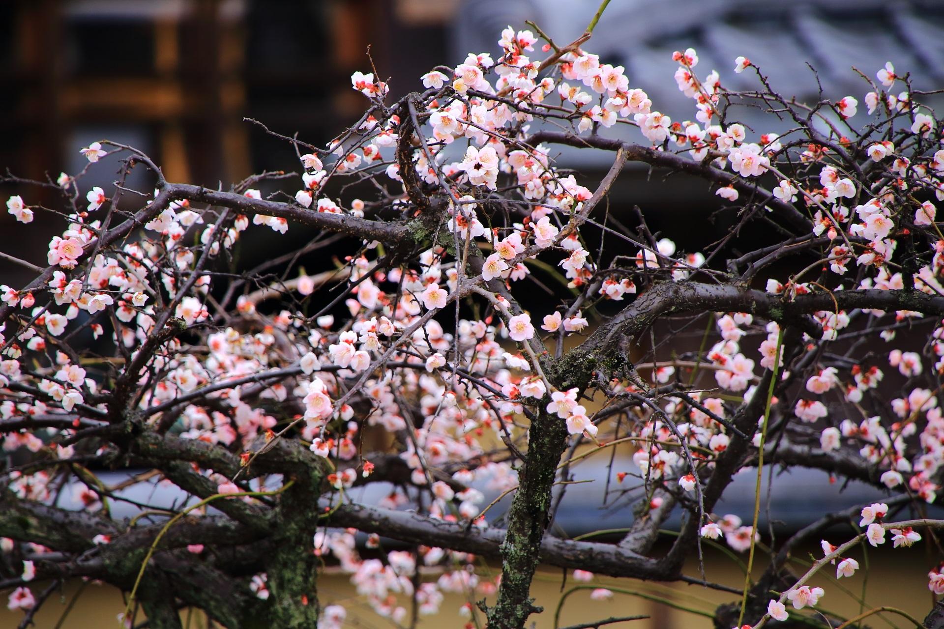 祇園白川の華やかな春先の彩り