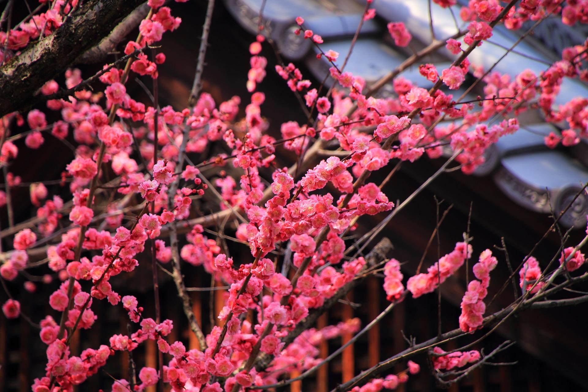 豪快に咲き誇る下御霊神社の梅