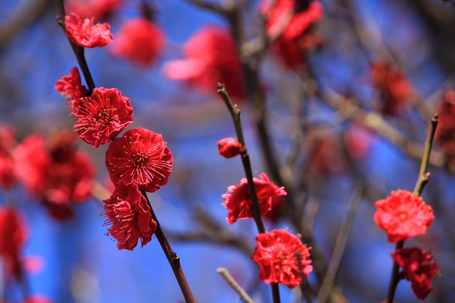 法住寺の濃いビビッドな赤色の梅の花