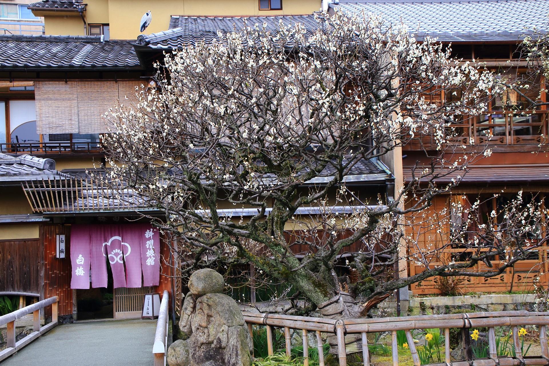 祇園白川の鳥と見ごろの梅