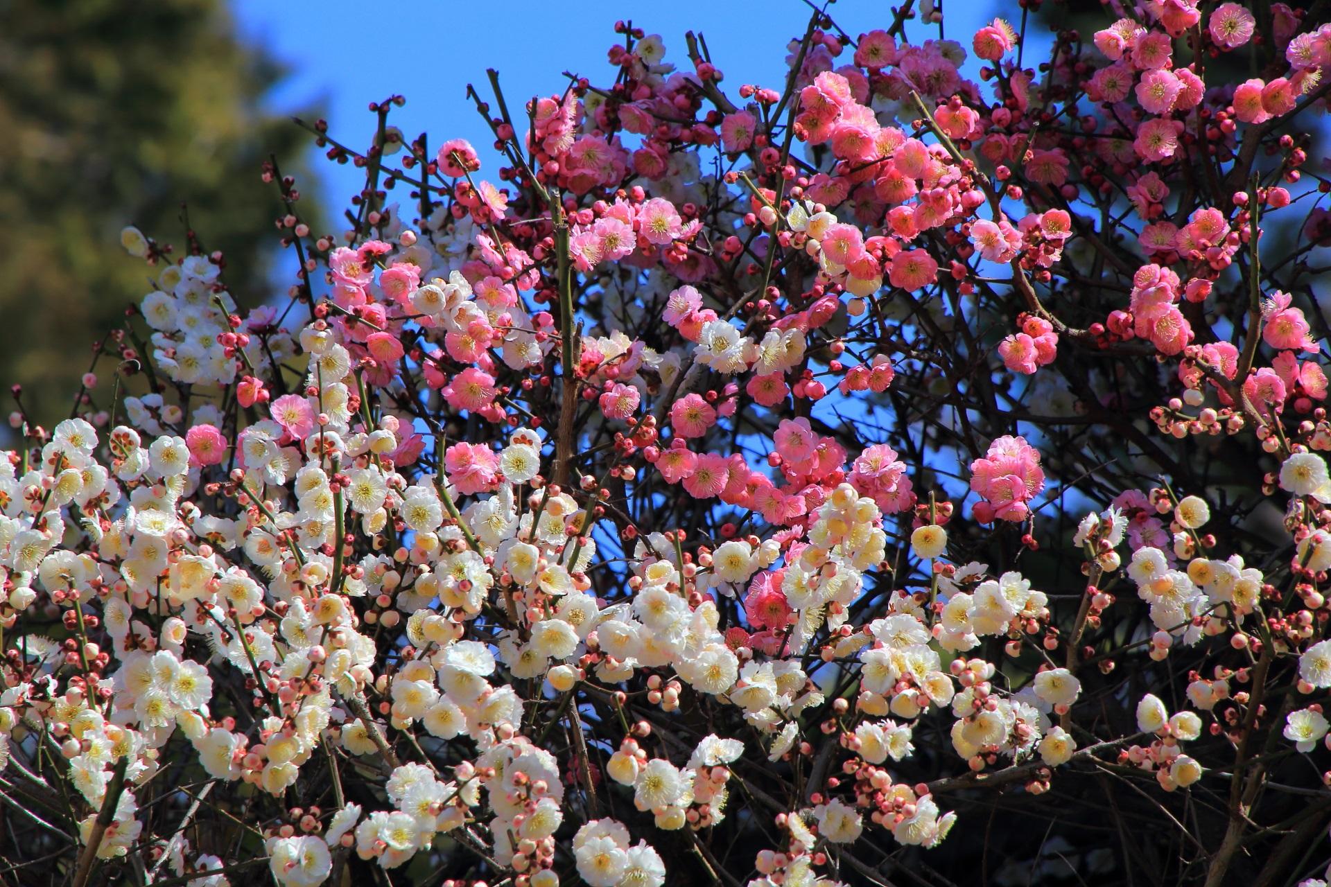 華やかな色合いの紅白の梅