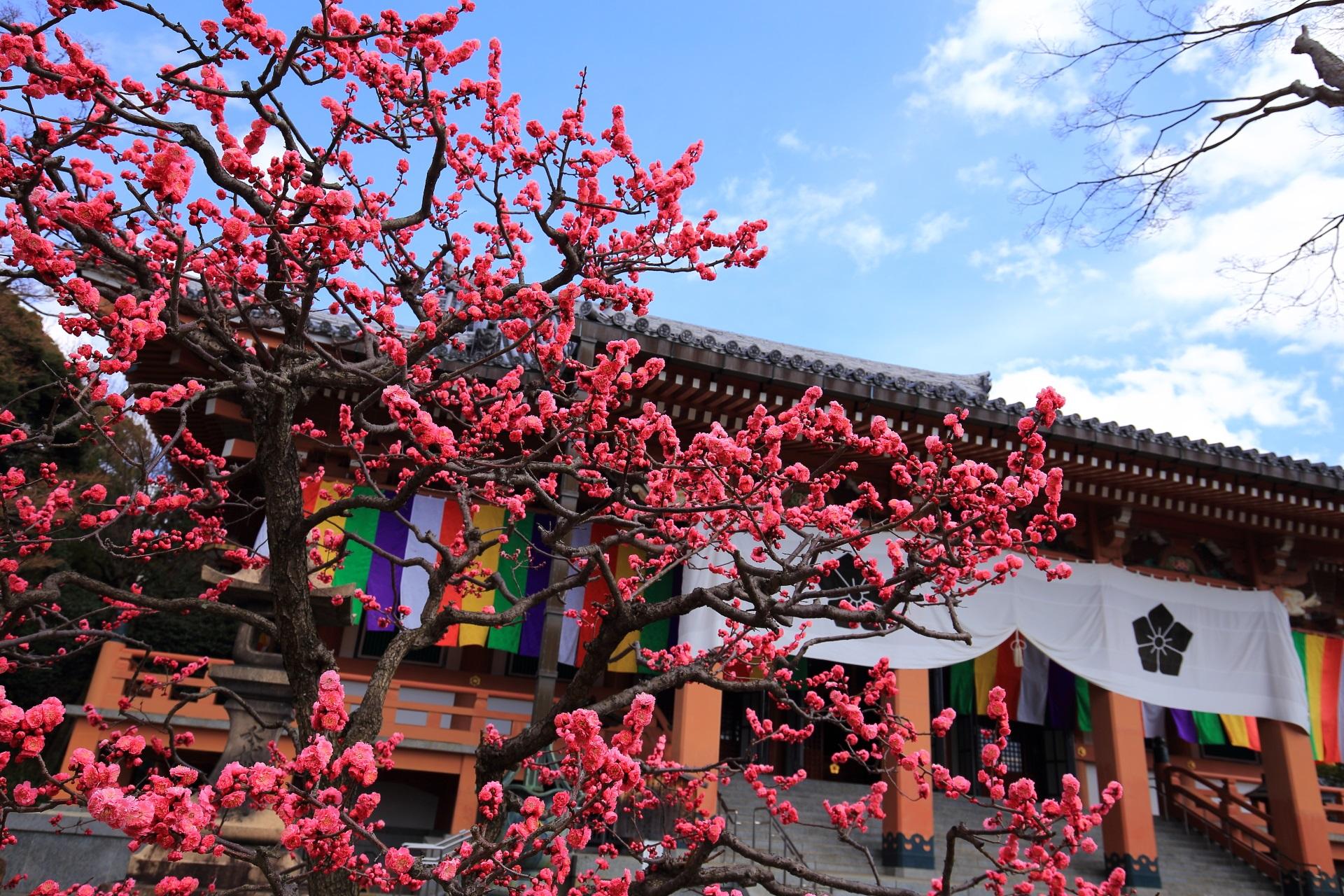 花がモコモコした智積院の見ごろの梅
