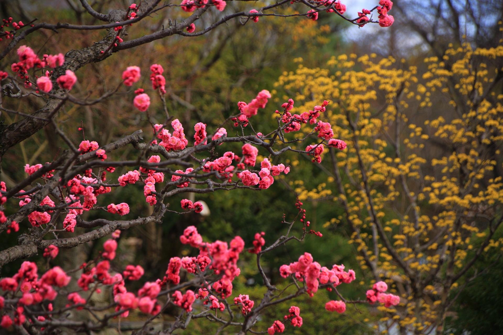 智積院の黄色いサンシュユと梅の花