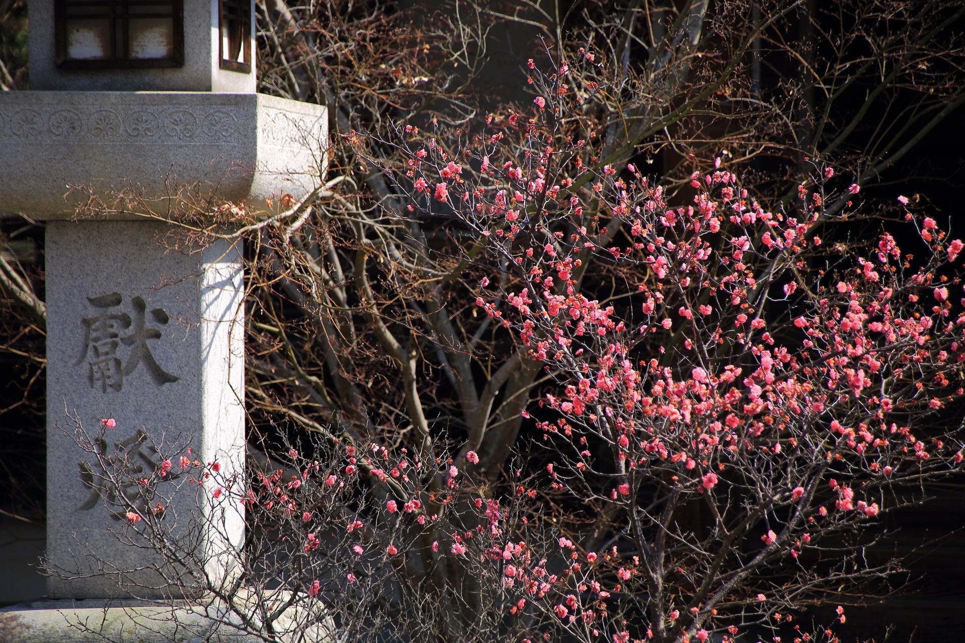 日が差すと煌びやかな色合いになる梅の花