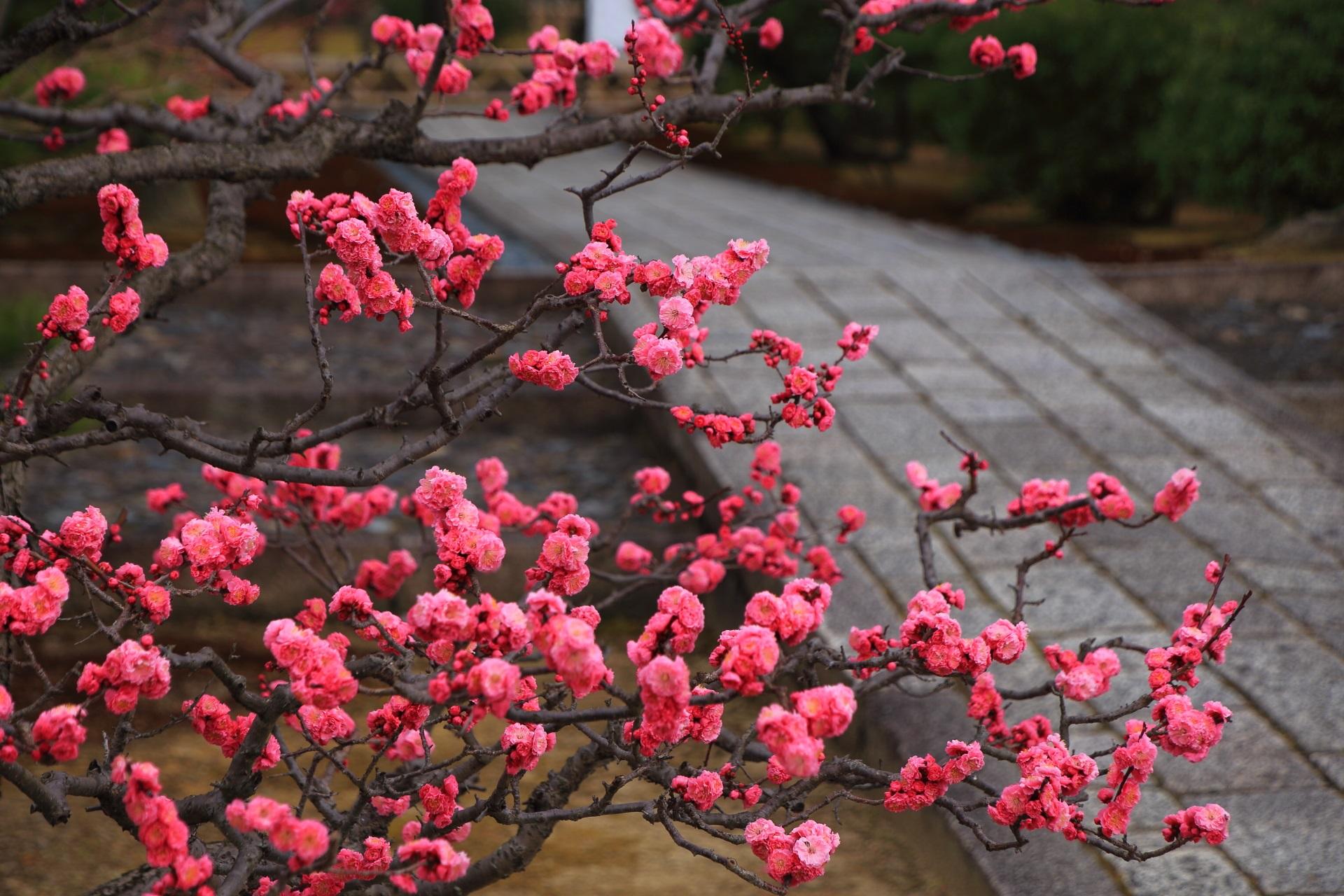智積院風情ある梅の花