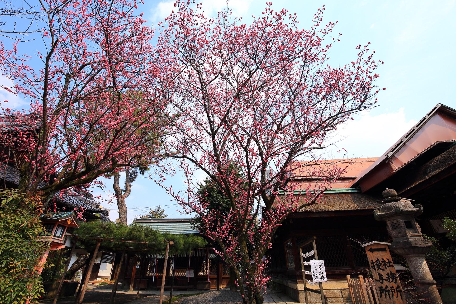 下御霊神社の素晴らしい梅と情景