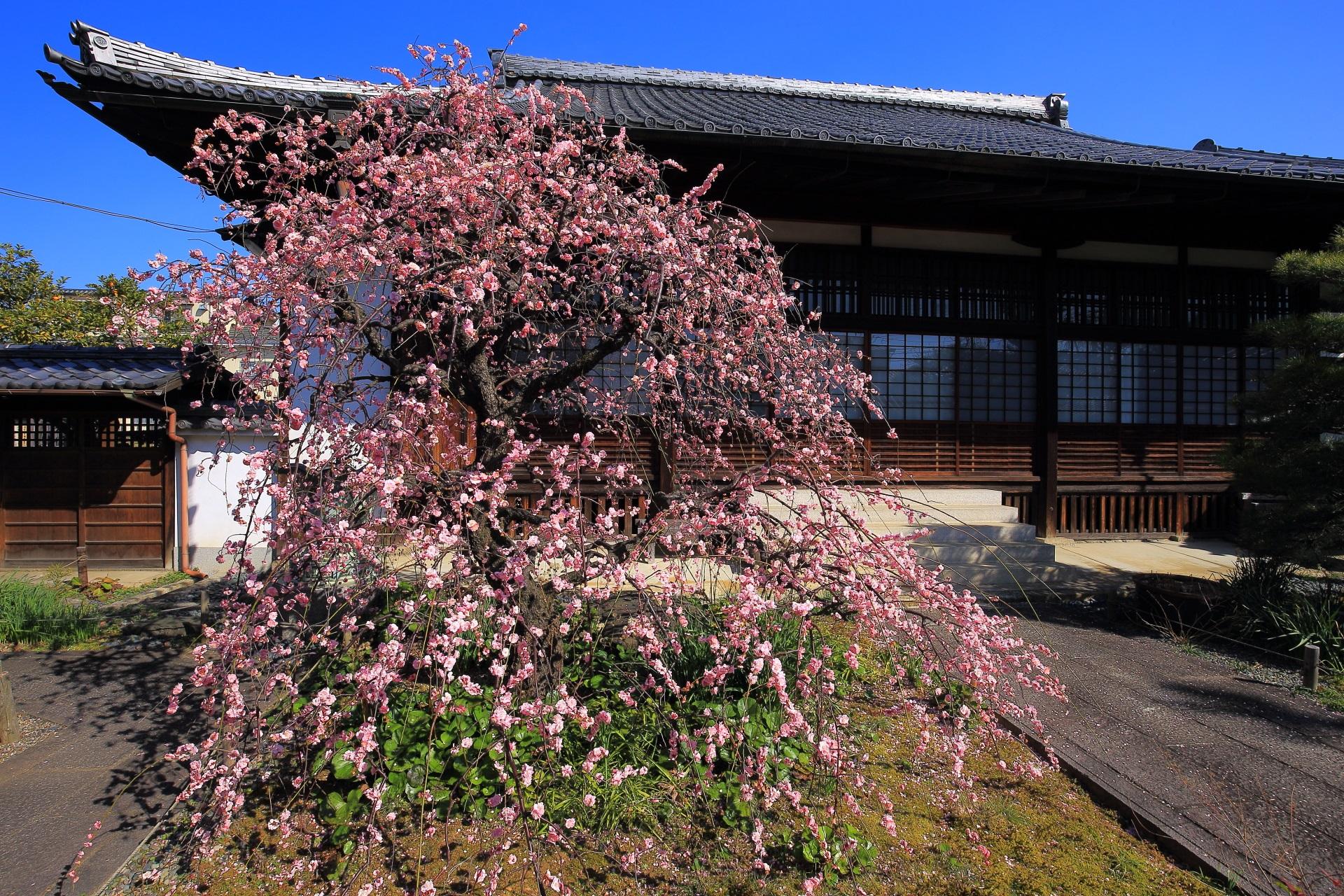 見事なしだれ梅と祐正寺の美しい形の本堂