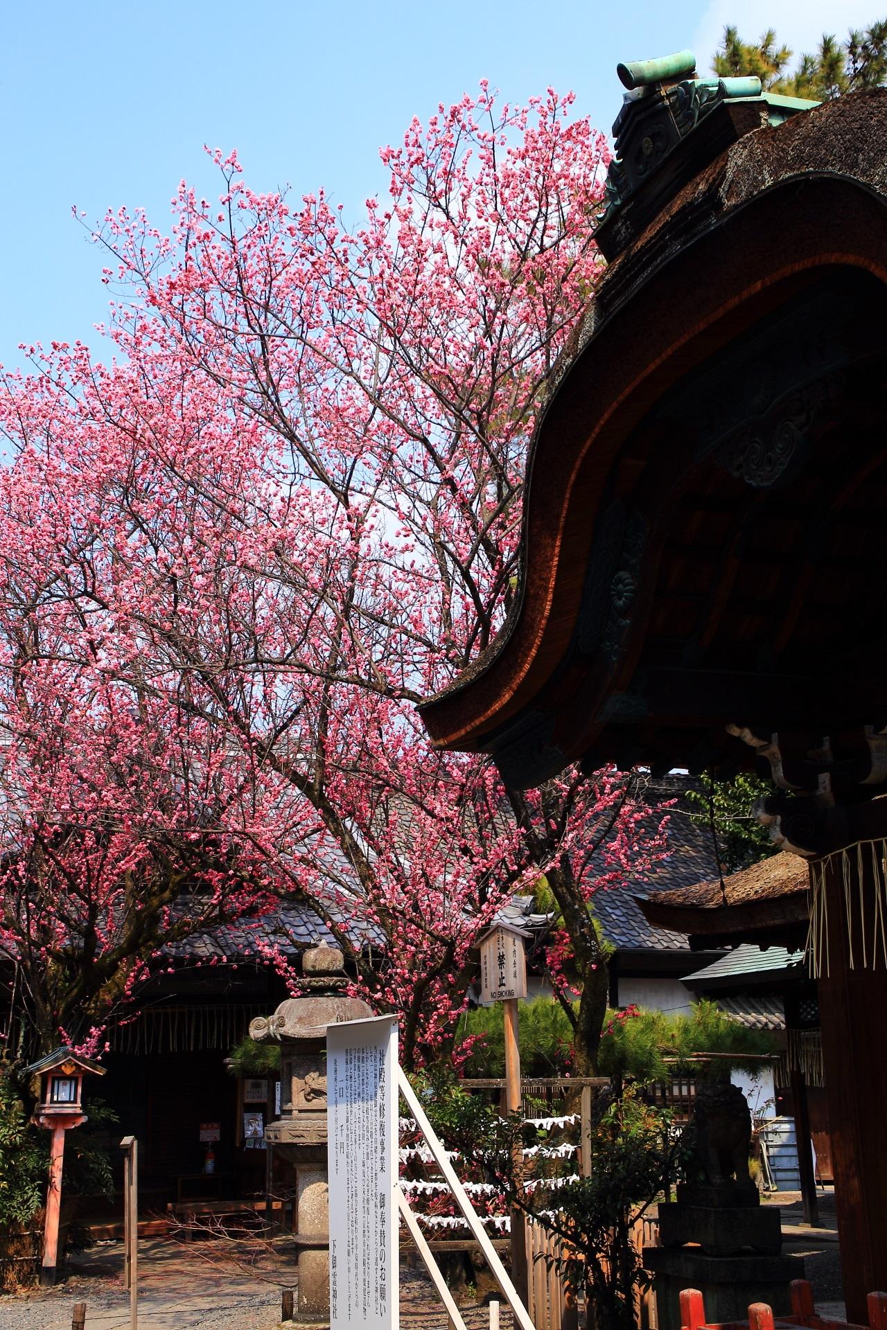 高画質 写真 梅 下御霊神社