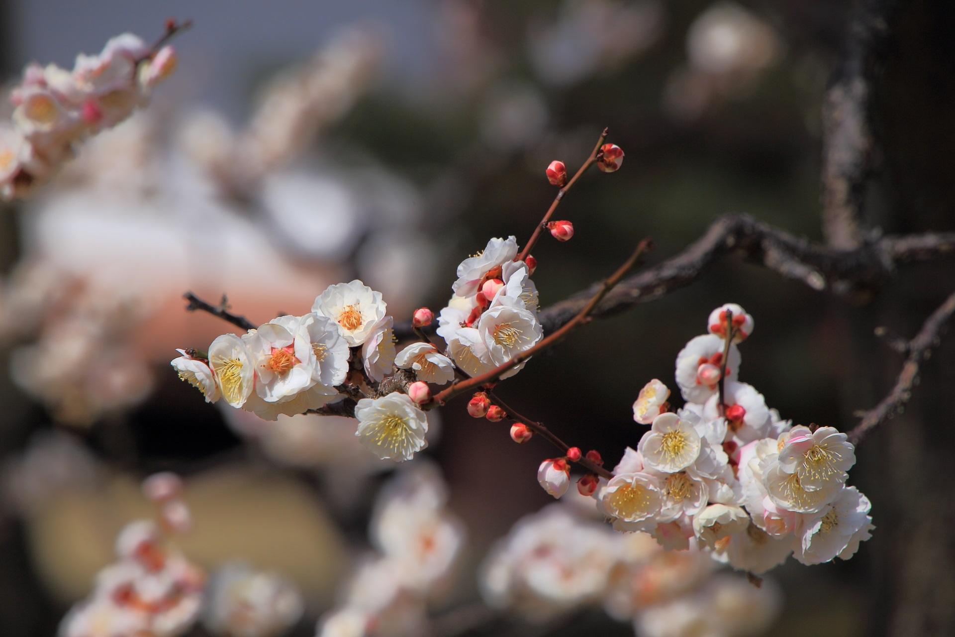 一輪ごとに見事な造りの梅の花