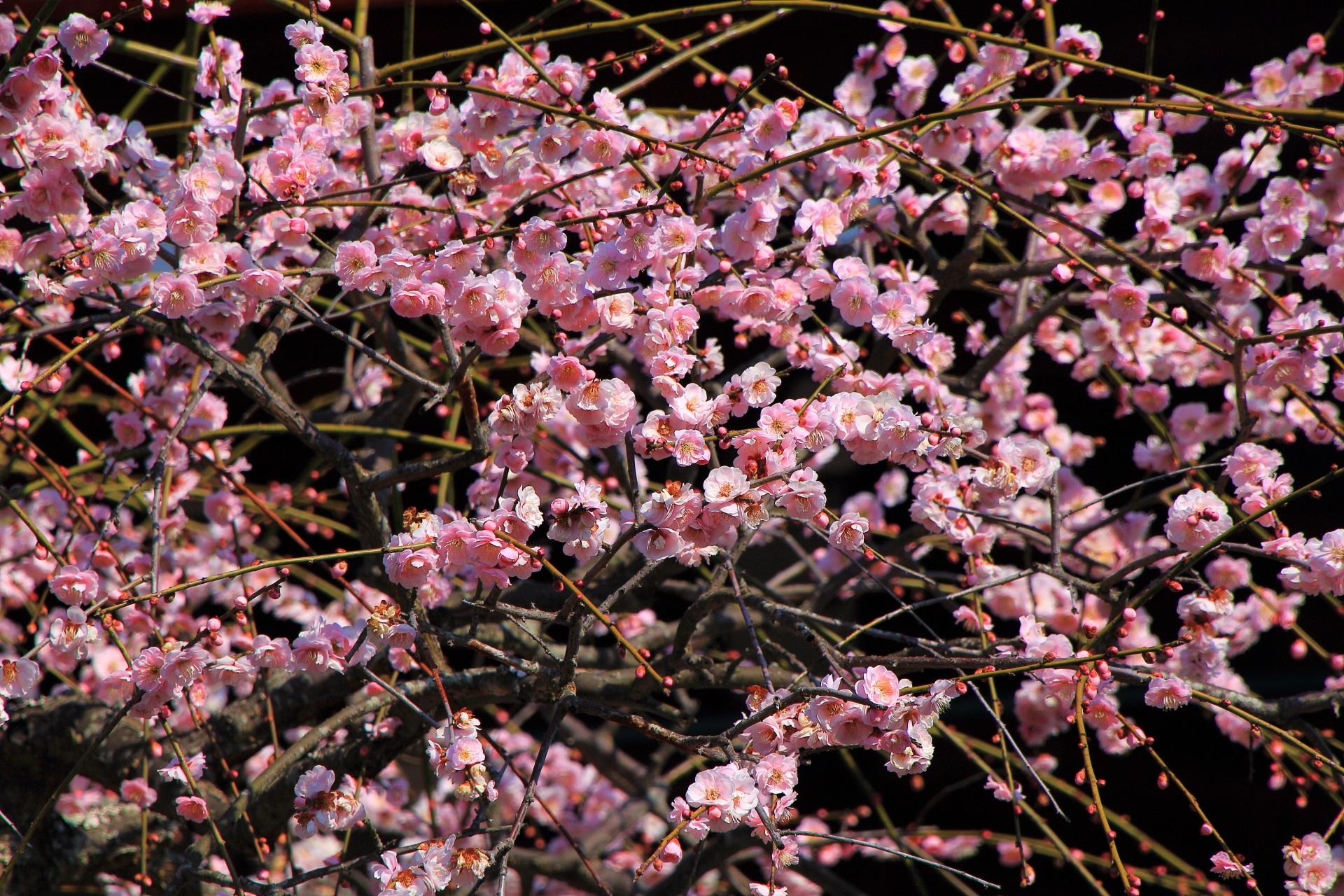 春先を彩るたくさんのピンクの梅の花