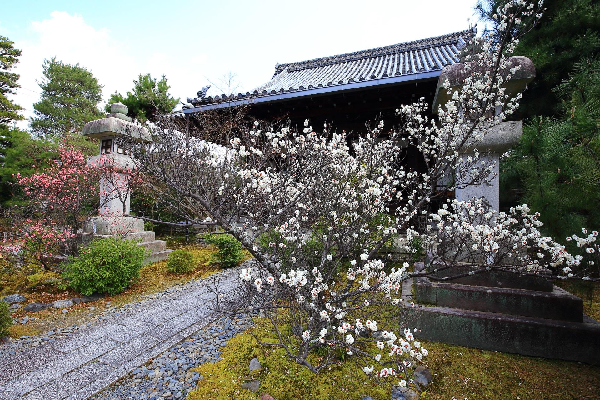 木の形も見事な嵯峨釈迦堂の白梅