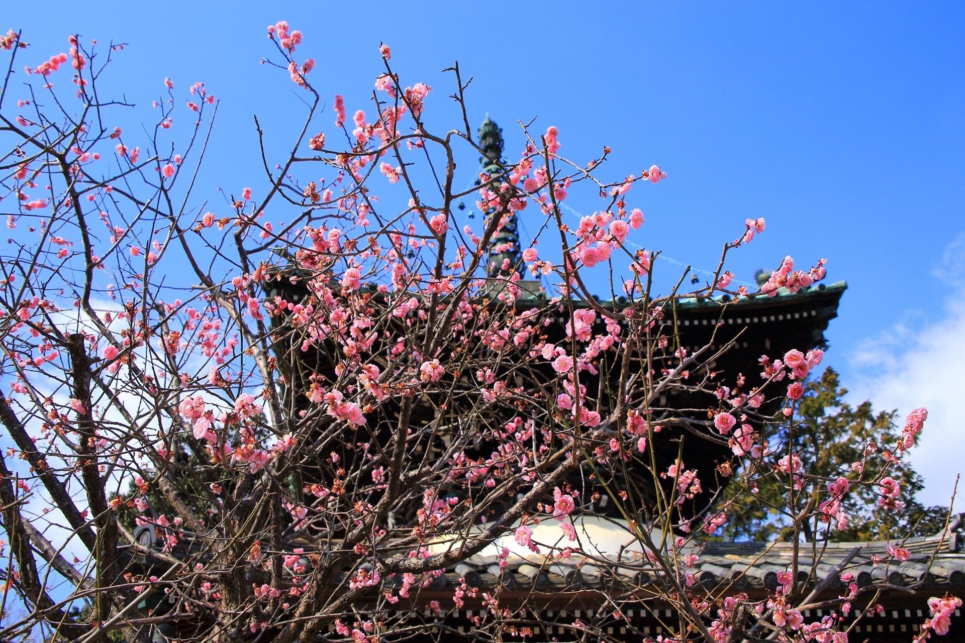 青空に映えるピンクの華やかな梅の花