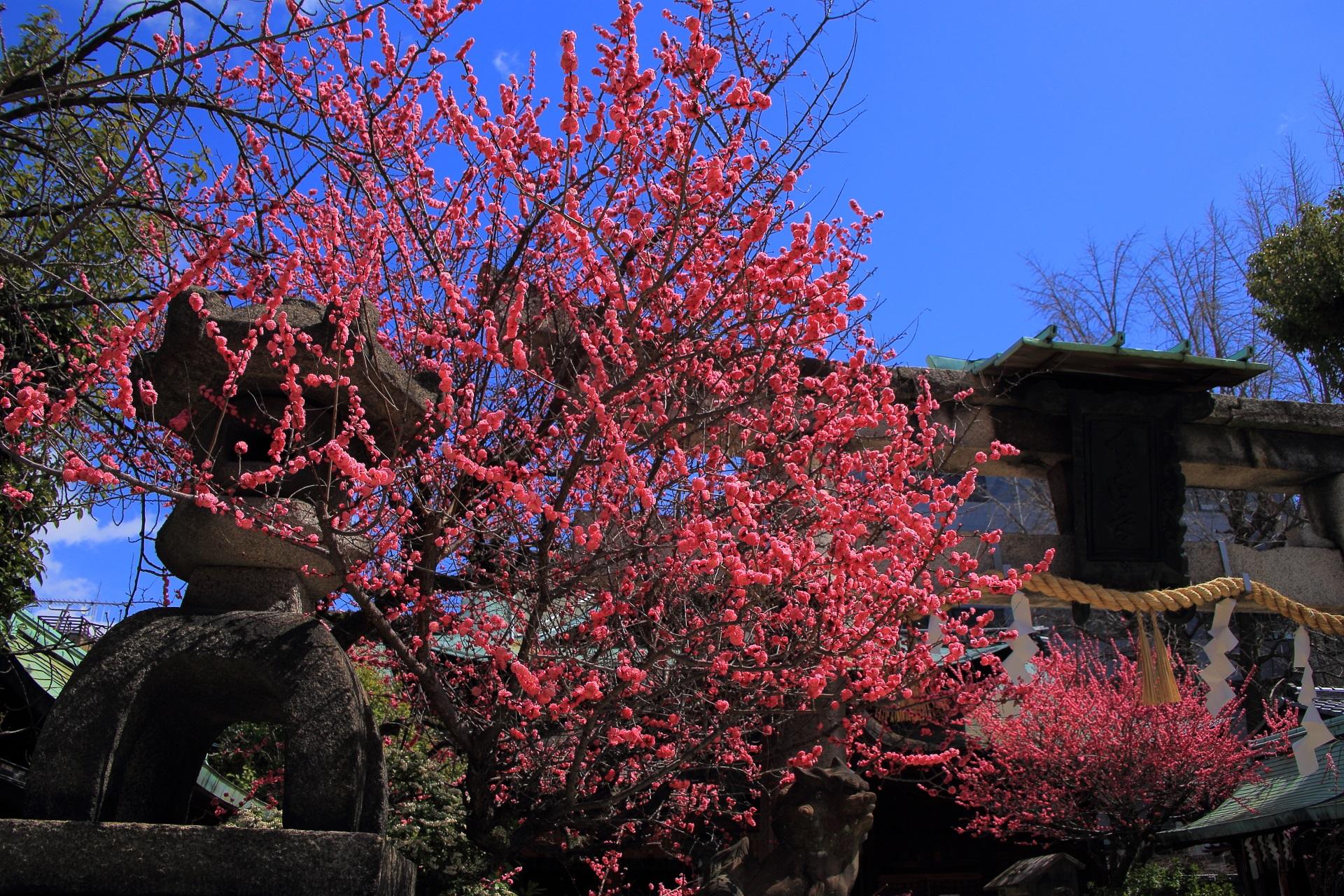 青空の下での煌びやかな梅の花