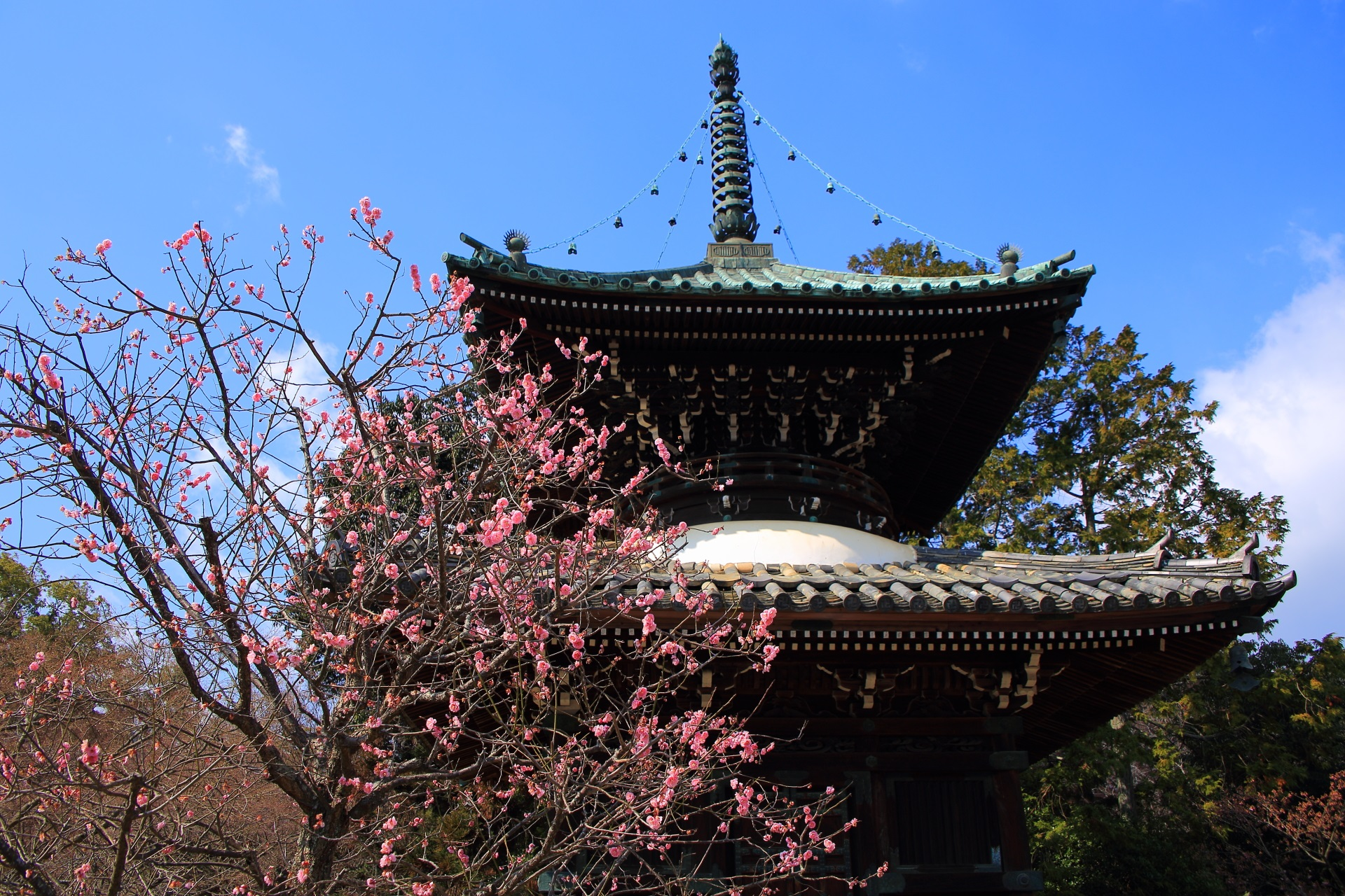 嵯峨釈迦堂の多宝塔のピンクの梅