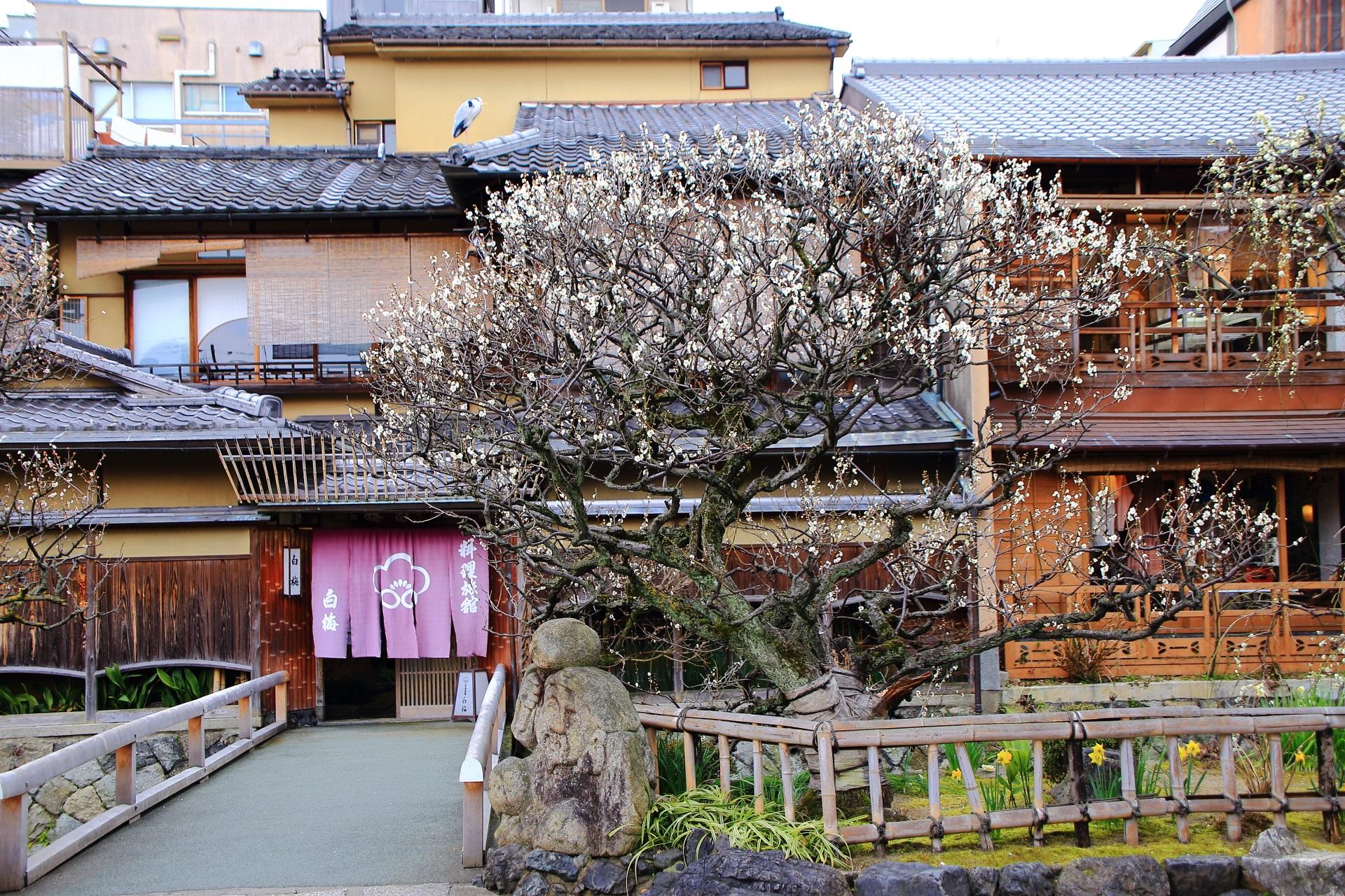 祇園白川 梅 風情ある春先の梅の名所