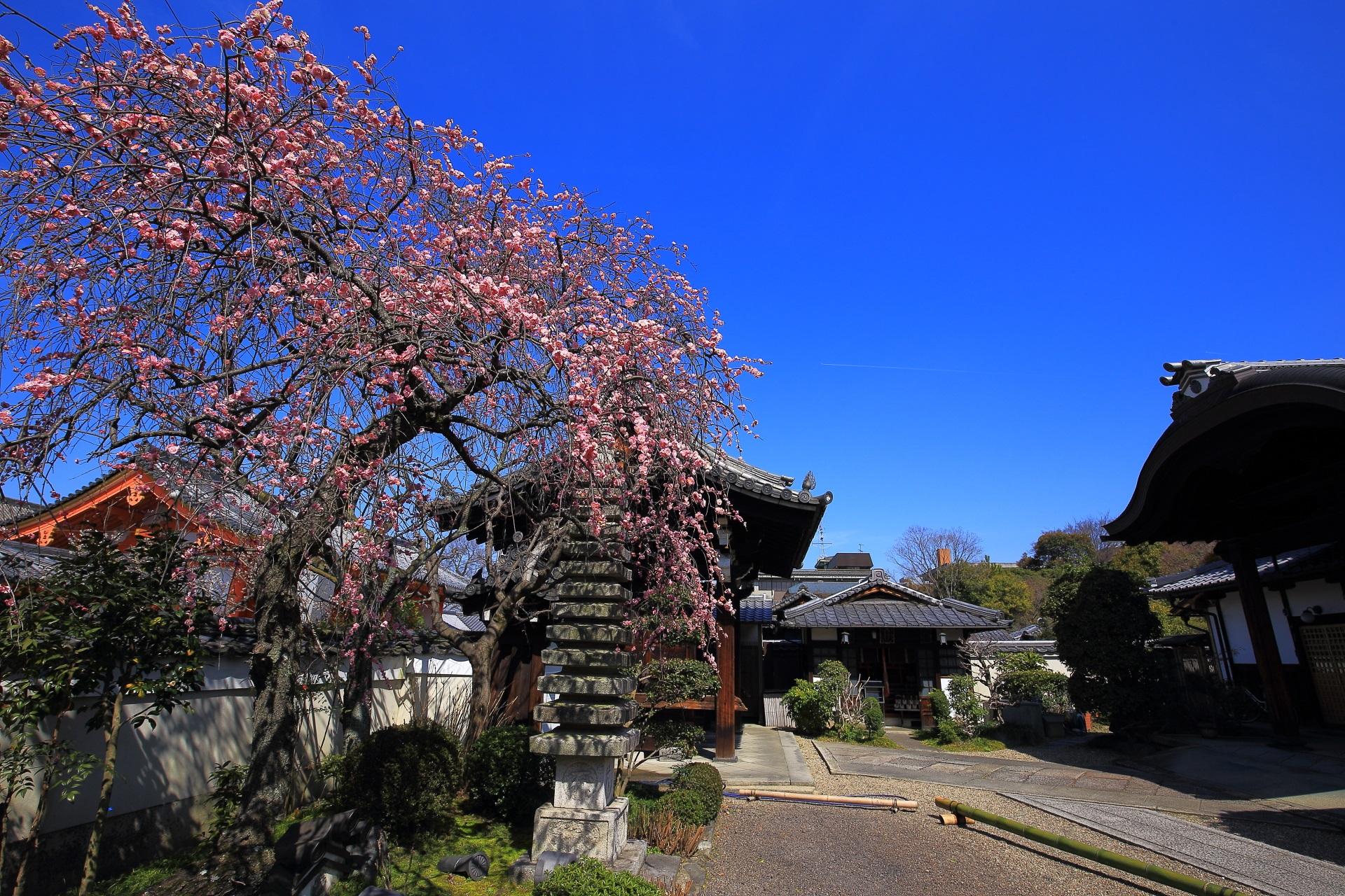 法住寺 梅 華やかな隠れた梅の名所