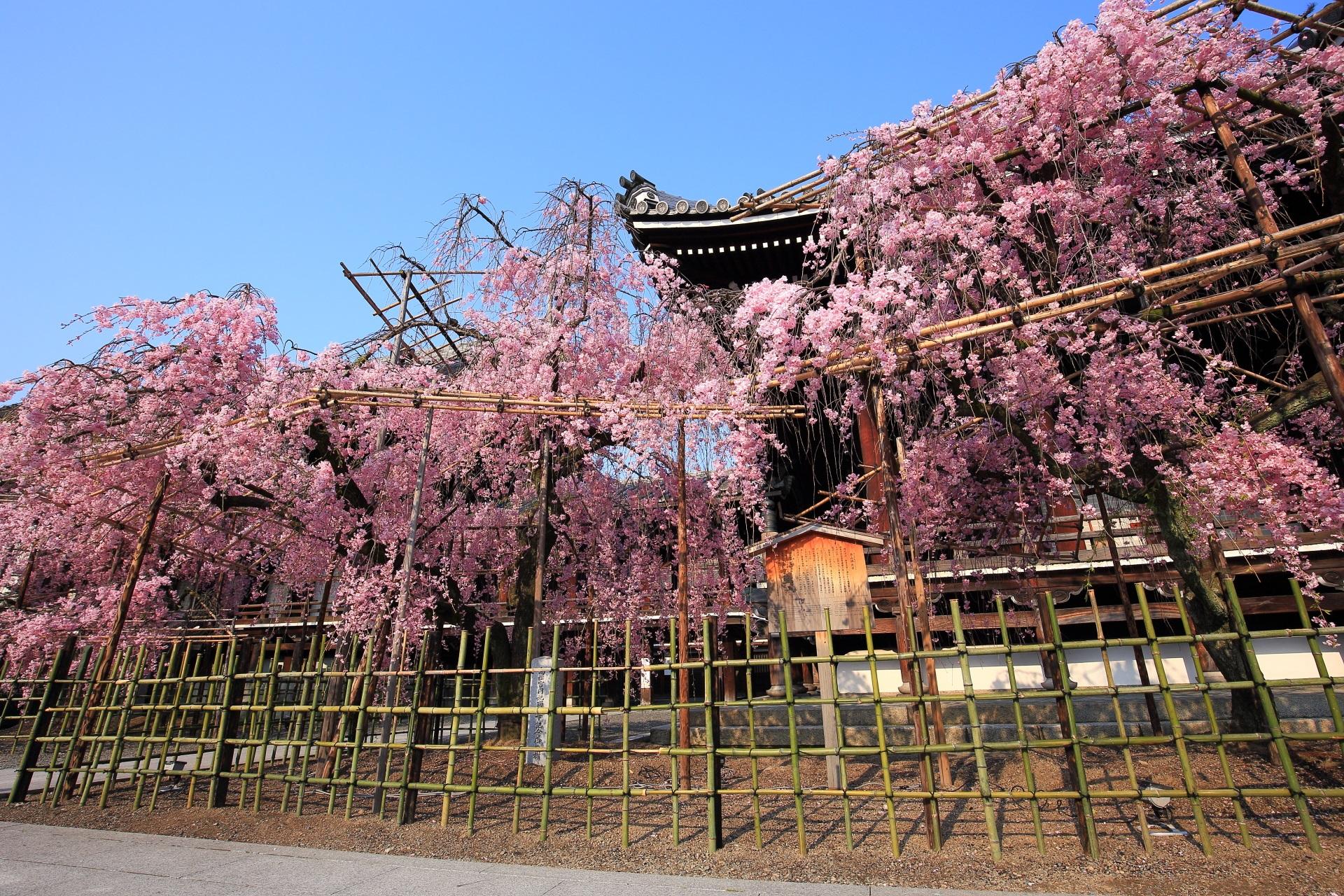 花をいっぱいつけた溢れる桜