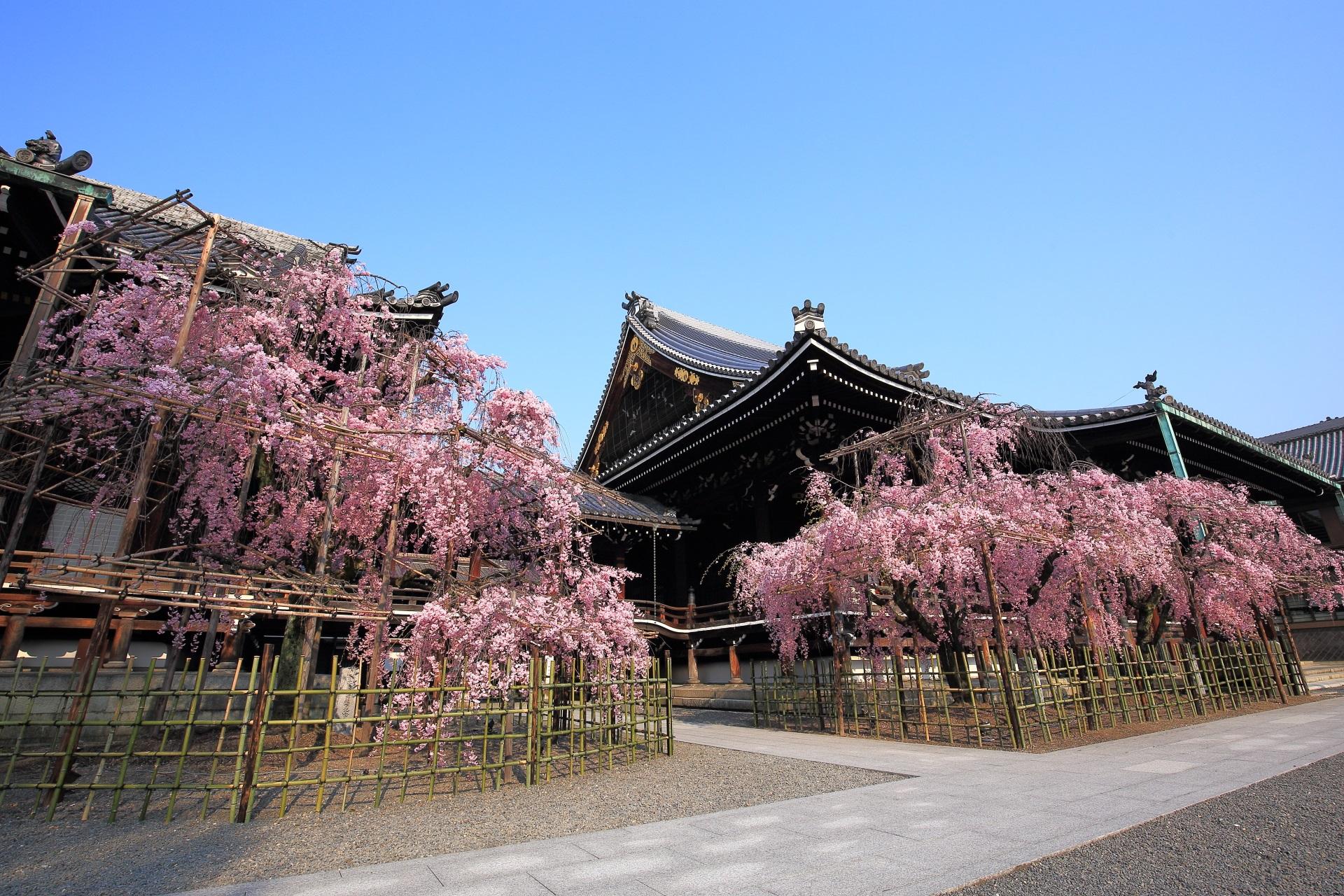 雲一つない爽快な青空の下のしだれ桜