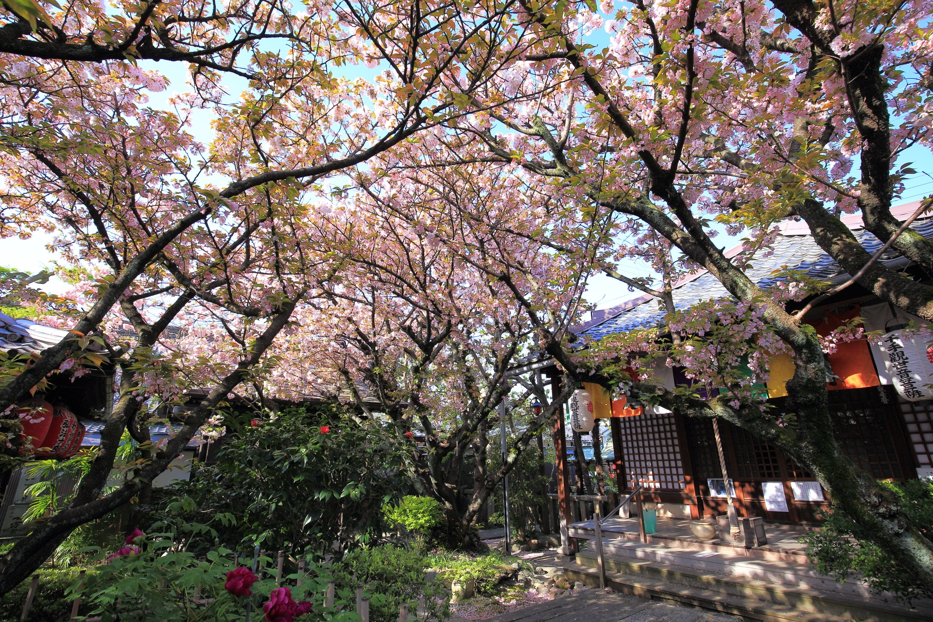 観音堂前の観音桜
