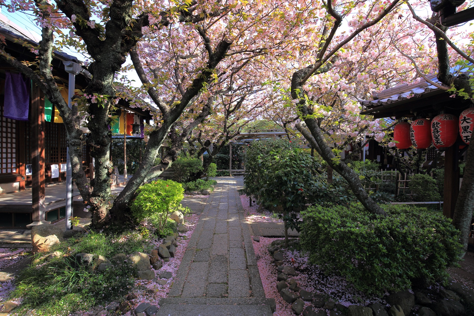 観音堂前の観音桜と歓喜聖天前の歓喜桜